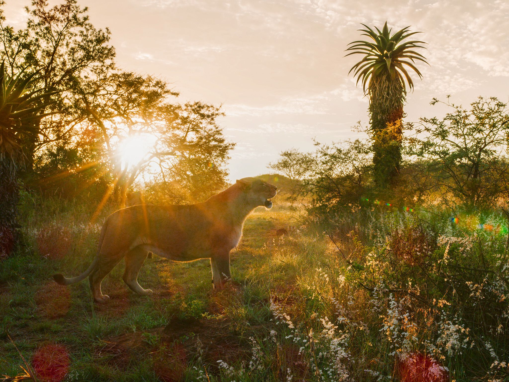 Costa Rica:  Lion during sunset.  This image is from Dead by Dawn. [Photo of the day - March 2019]