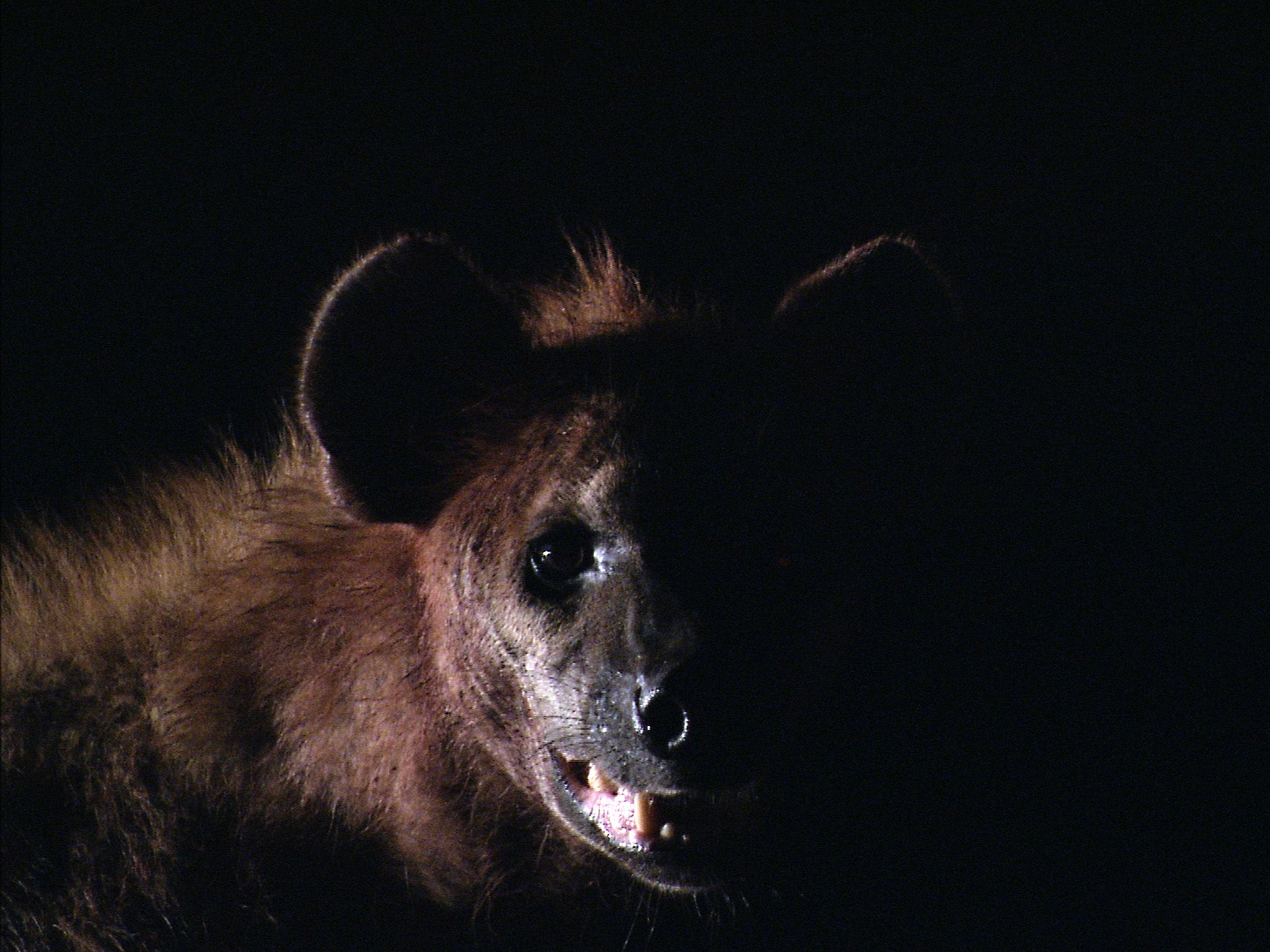 Liuwa Plain National Park, Zambia:  Close up of hyena at night.  This image is from Africa's... [Foto del giorno - marzo 2019]