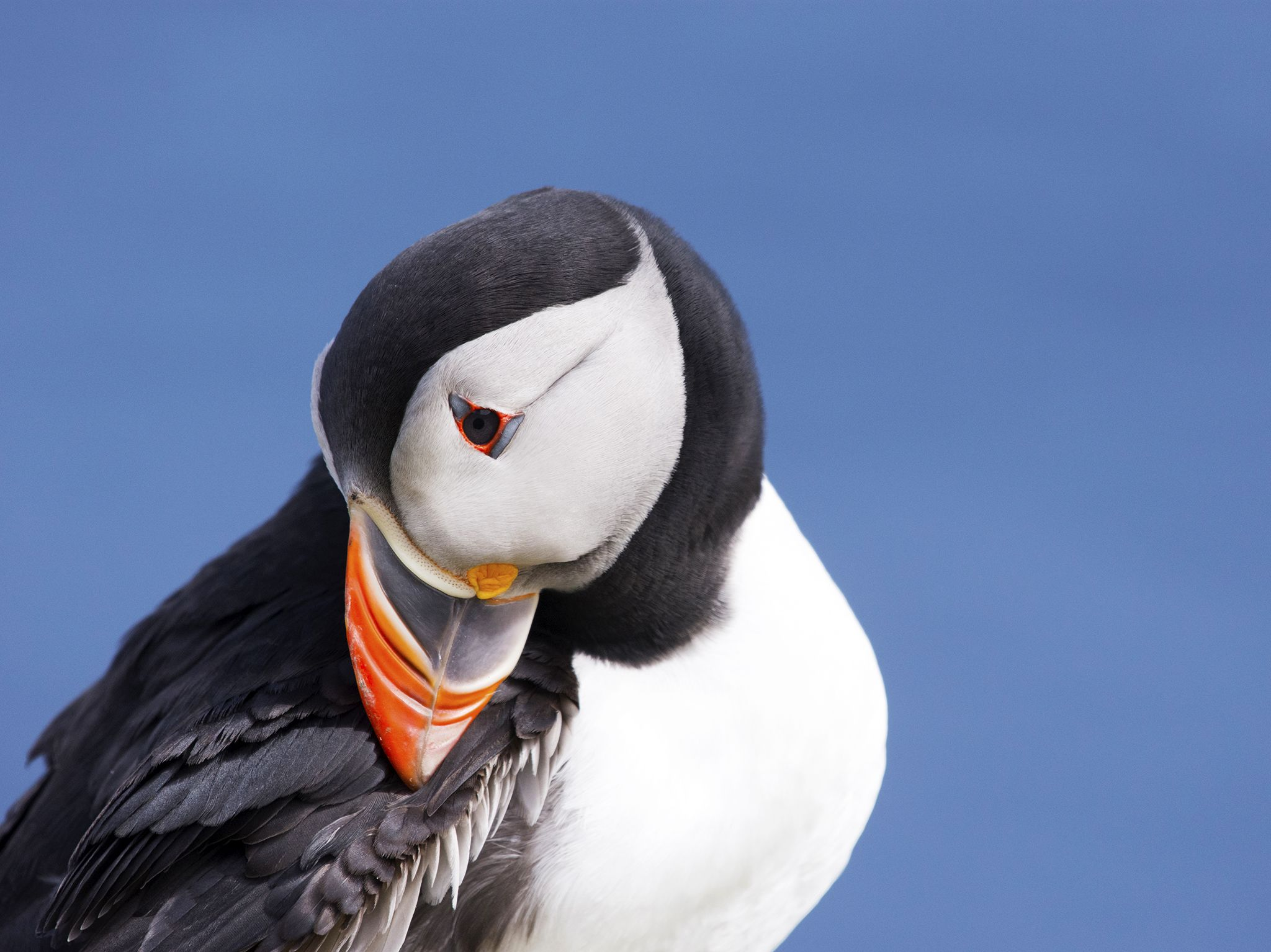 Shetland:  A Puffin preening it's feathers at a seabird colony.    This image is from Wild Way... [Photo of the day - March 2019]