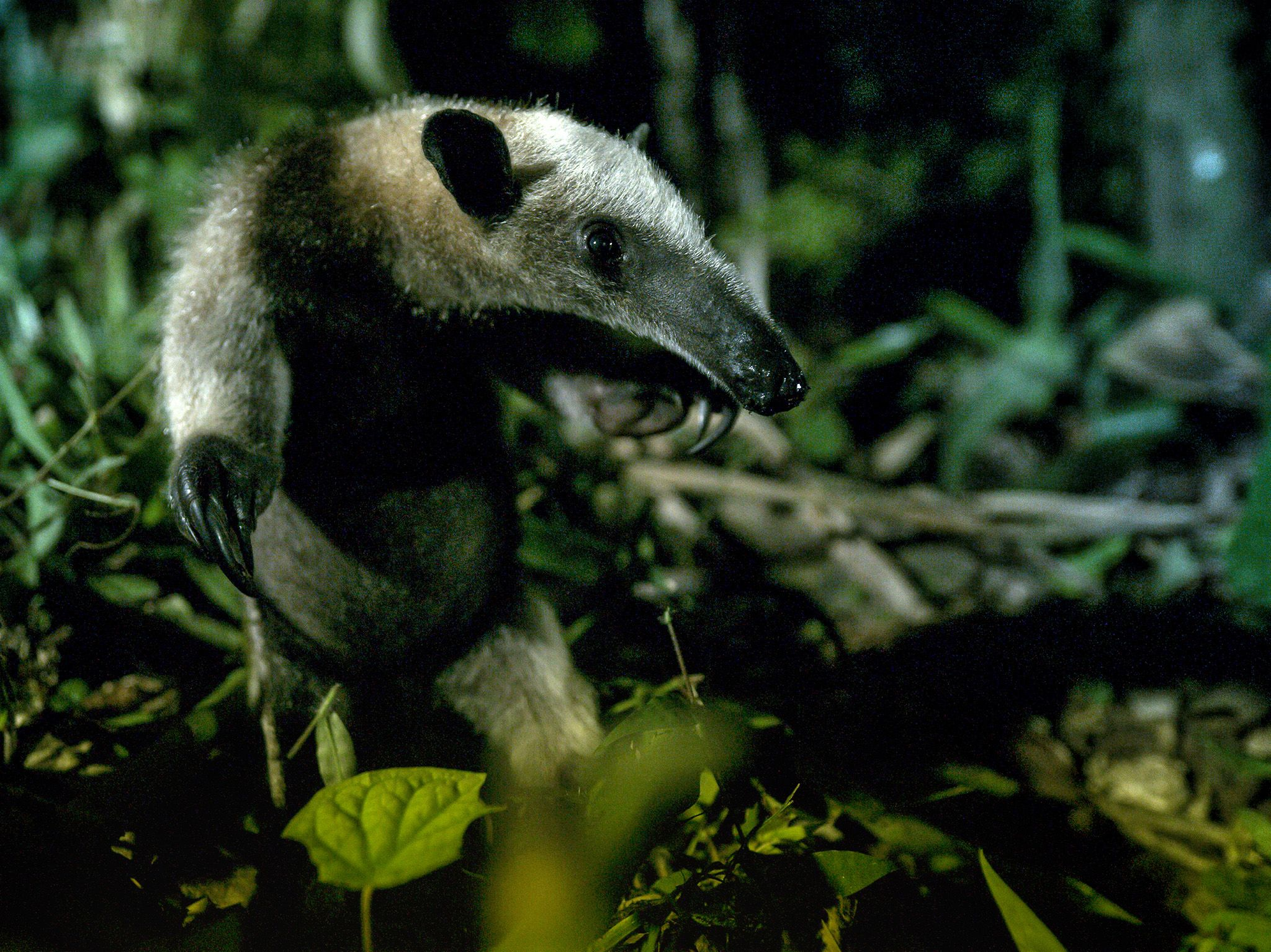 Costa Rica:  A tamandua.  This image is from Dead by Dawn. [Photo of the day - March 2019]