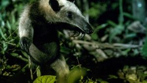 Costa Rica:  A tamandua.  This image... [Photo of the day - 27 MARCH 2019]