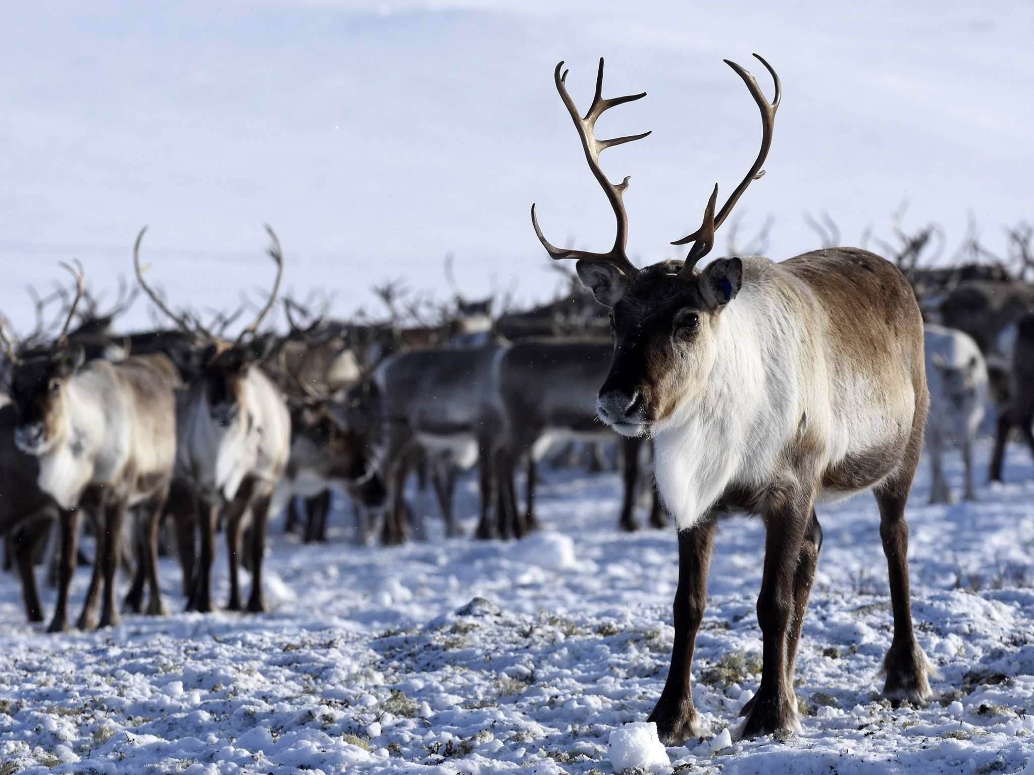 A great herd of Reindeer moving through the snow covered mountains in Norway. This image is from... [Photo of the day - March 2019]