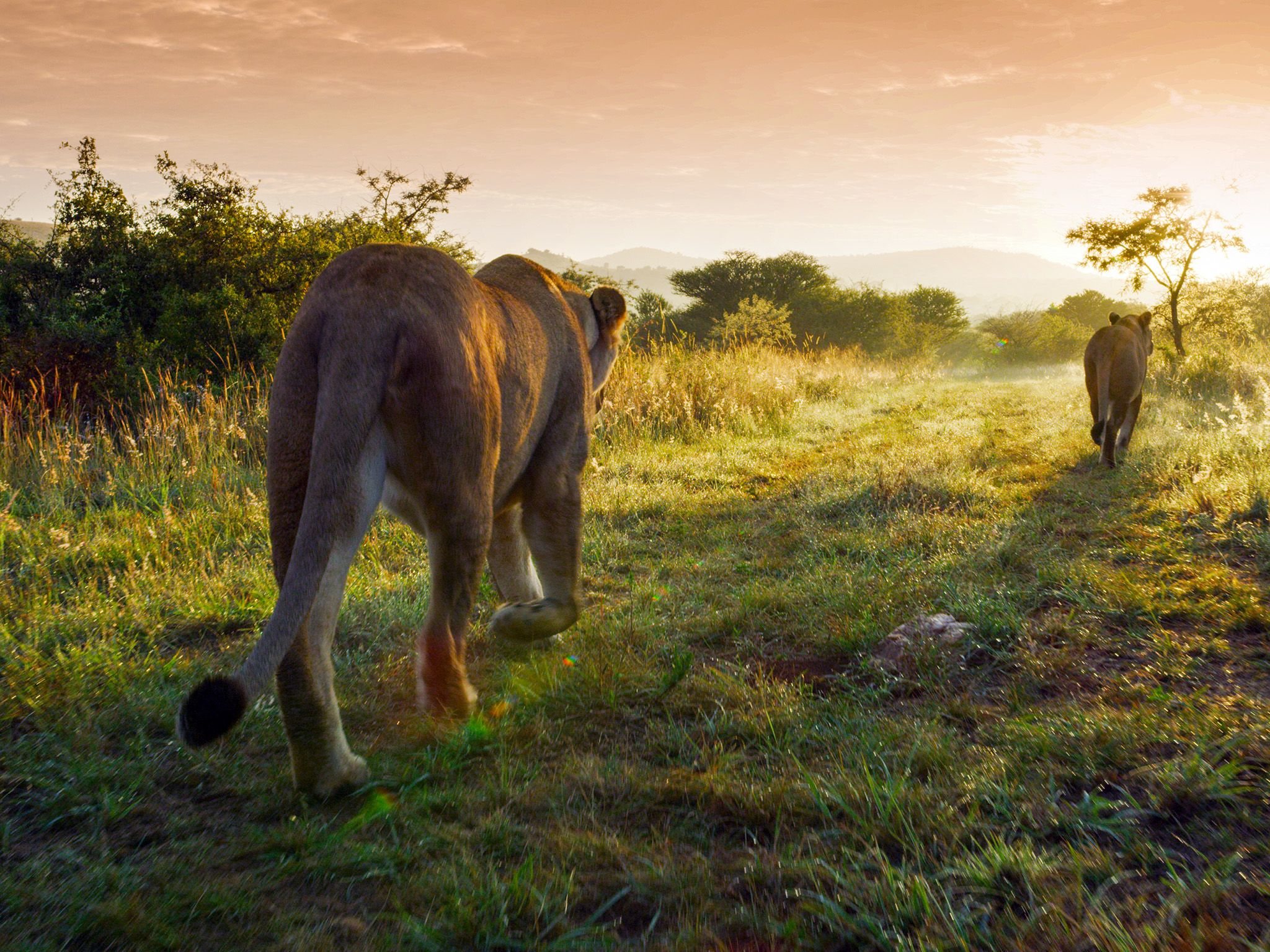 Costa Rica:  Lions walking towards sunset.  This image is from Dead by Dawn. [Photo of the day - March 2019]
