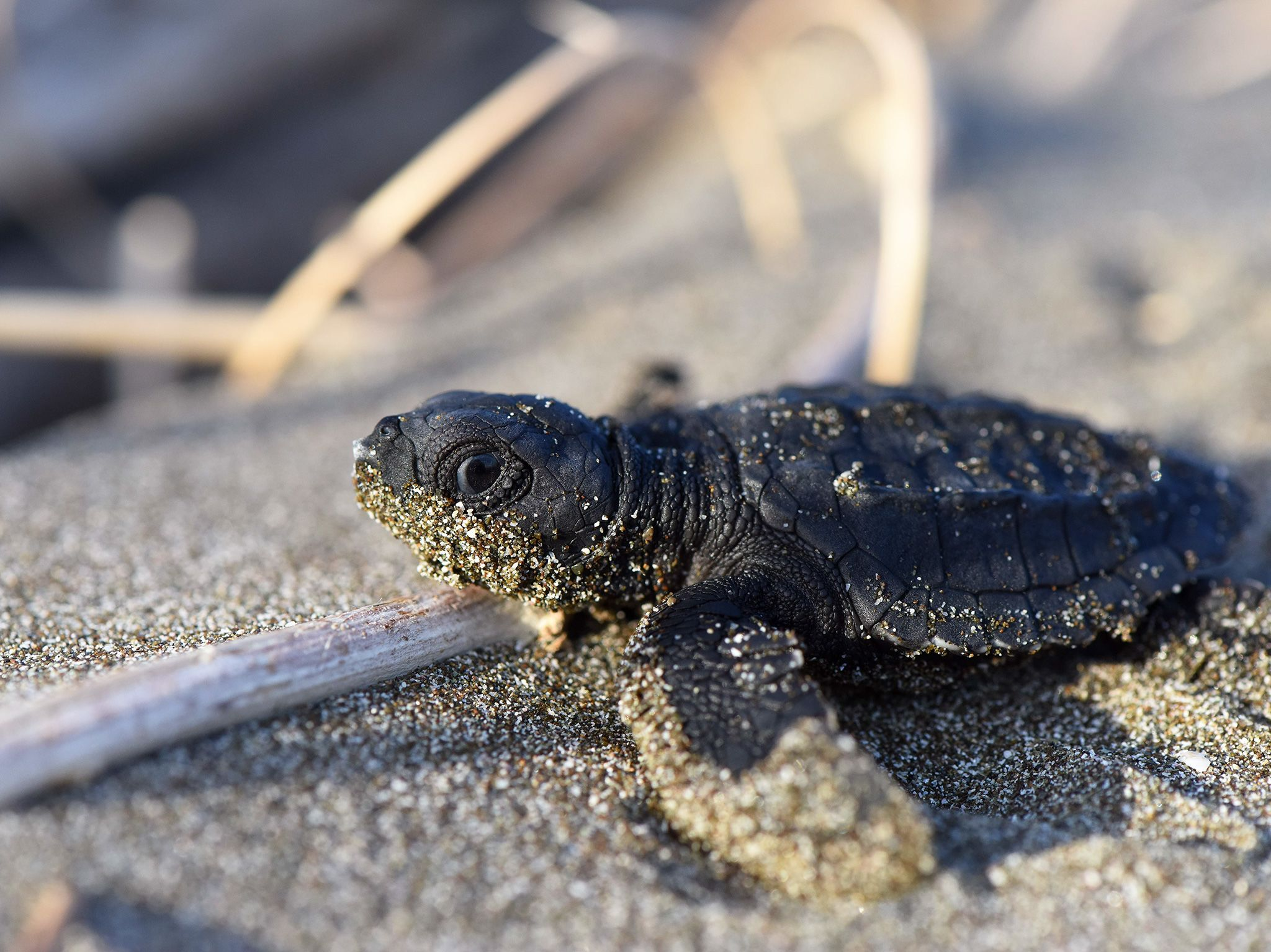 Nancite, Costa Rica: After digging its way to this surface, this turtle hatchling must now run a... [Photo of the day - April 2019]