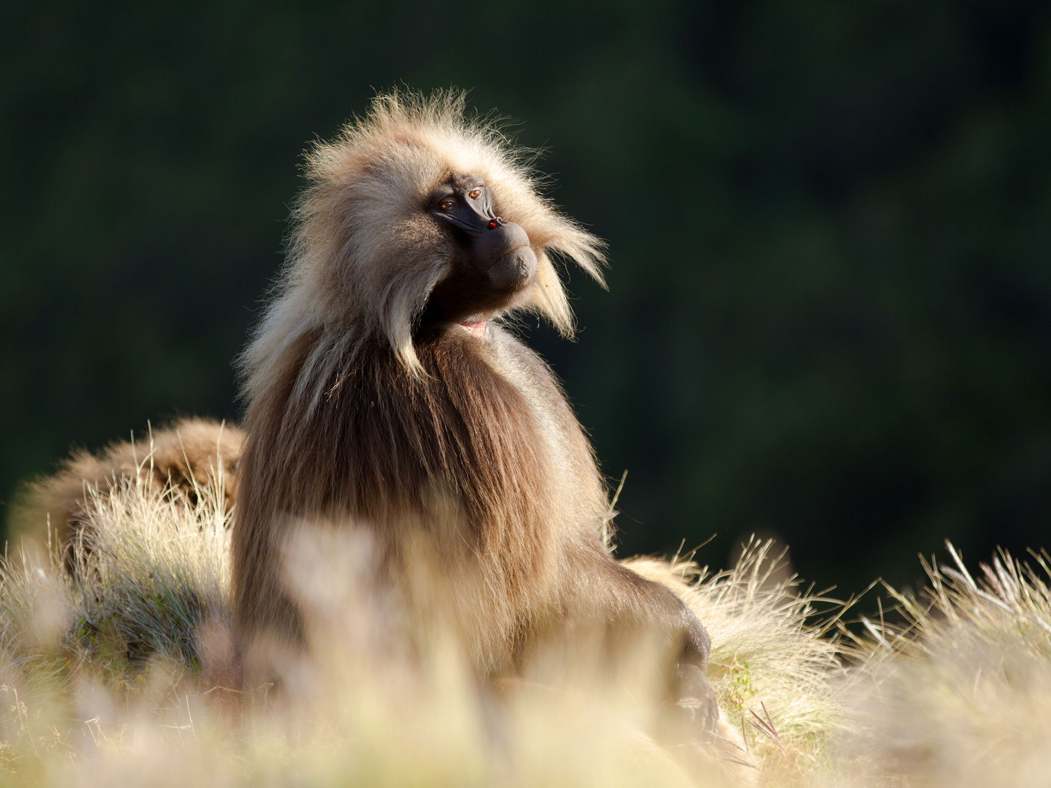 Ethiopia:  A male gelada, Simien Mountains National Park, Ethiopia. Despite their large canines... [Photo of the day - April 2019]