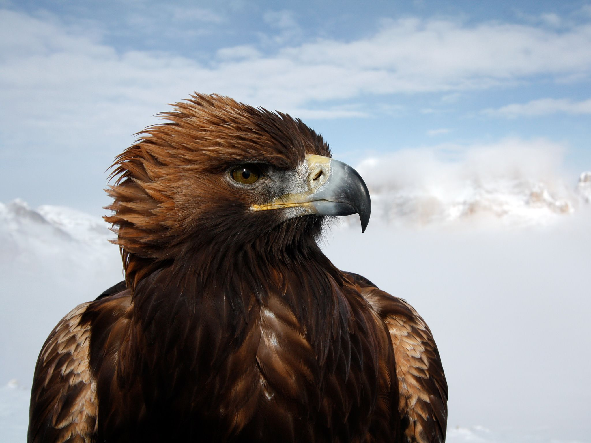 Dolomites, Italy:  A golden eagle.  For golden eagles in the higher latitudes of the planet,... [Photo of the day - April 2019]
