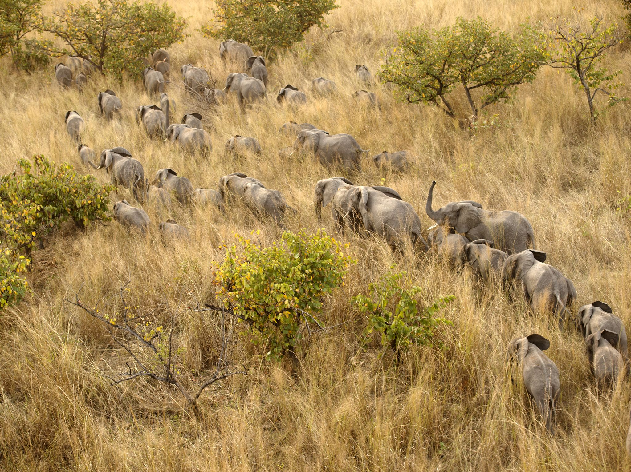 In 1977 there were 22,000 elephants in Garamba National Park. Today there are less than 1,200... [Photo of the day - April 2019]