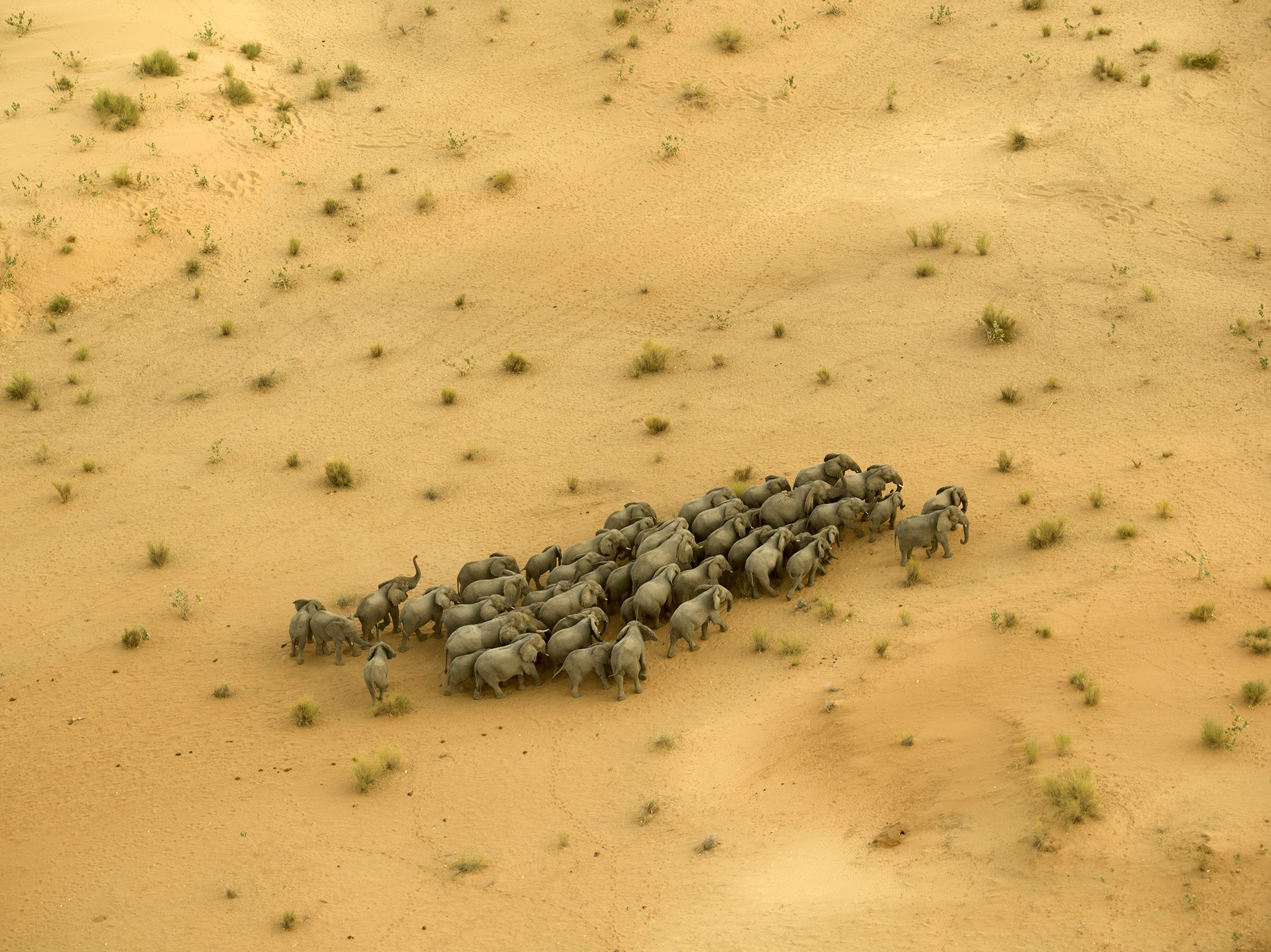 The elephants living around Lake Chad are unique to the Sahel; they inhabit the desert, moving... [Photo of the day - April 2019]