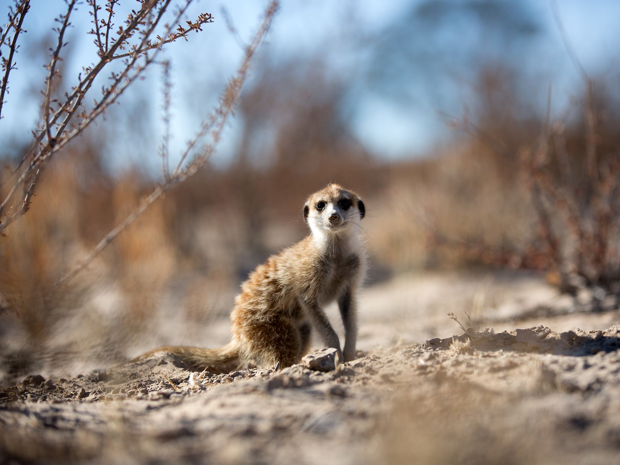 Portrait of a meerkat (Suricata suricatta) as it pauses in-between digging for grubs and insects... [Foto del giorno - aprile 2019]