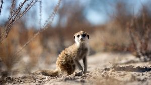 Portrait of a meerkat (Suricata... [Photo of the day - 24 APRIL 2019]