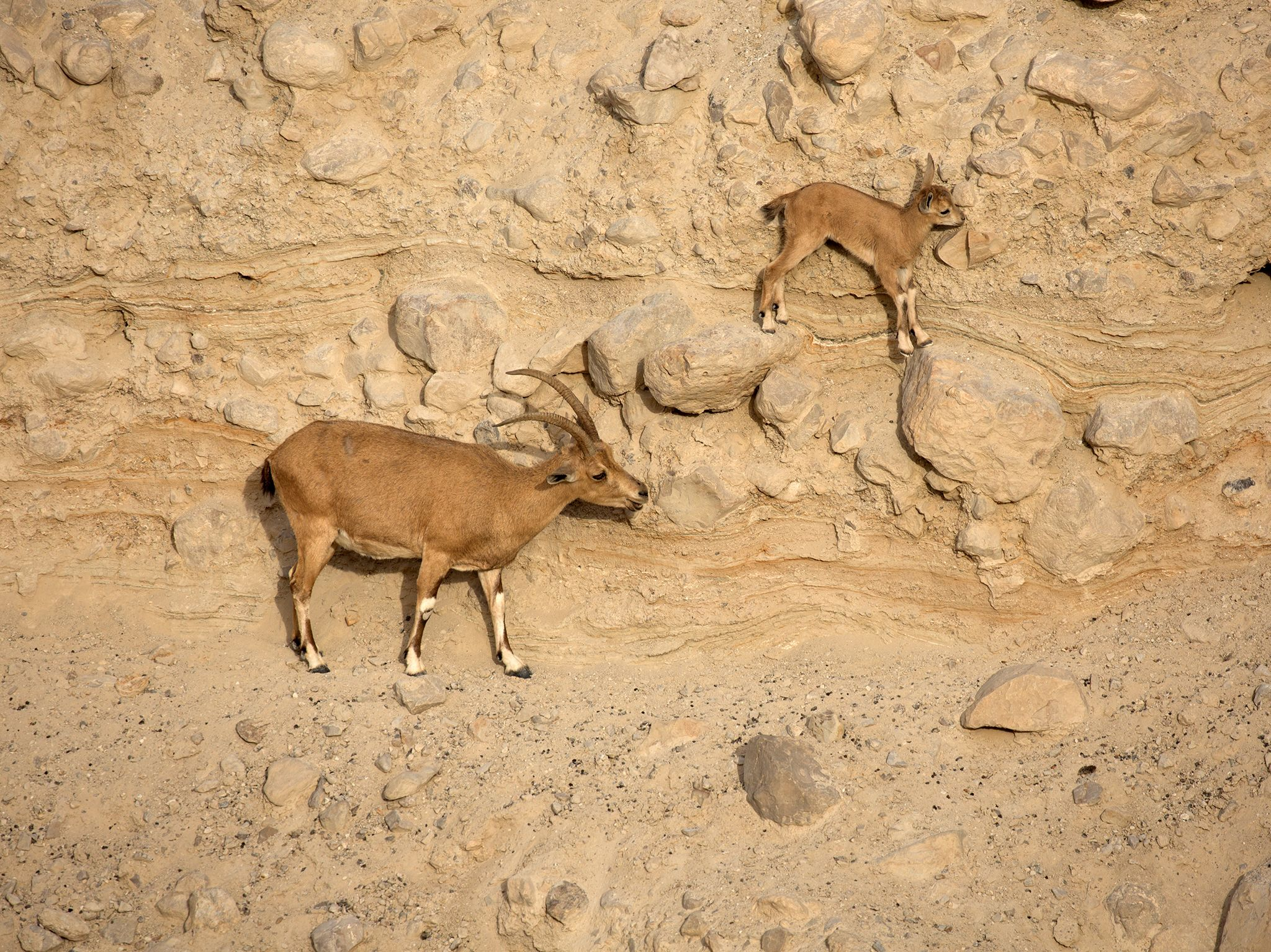 A pair of Nubian ibex (Capra nubiana) scale high cliffs in Israel's Judean Desert. This pair are... [Foto del giorno - aprile 2019]