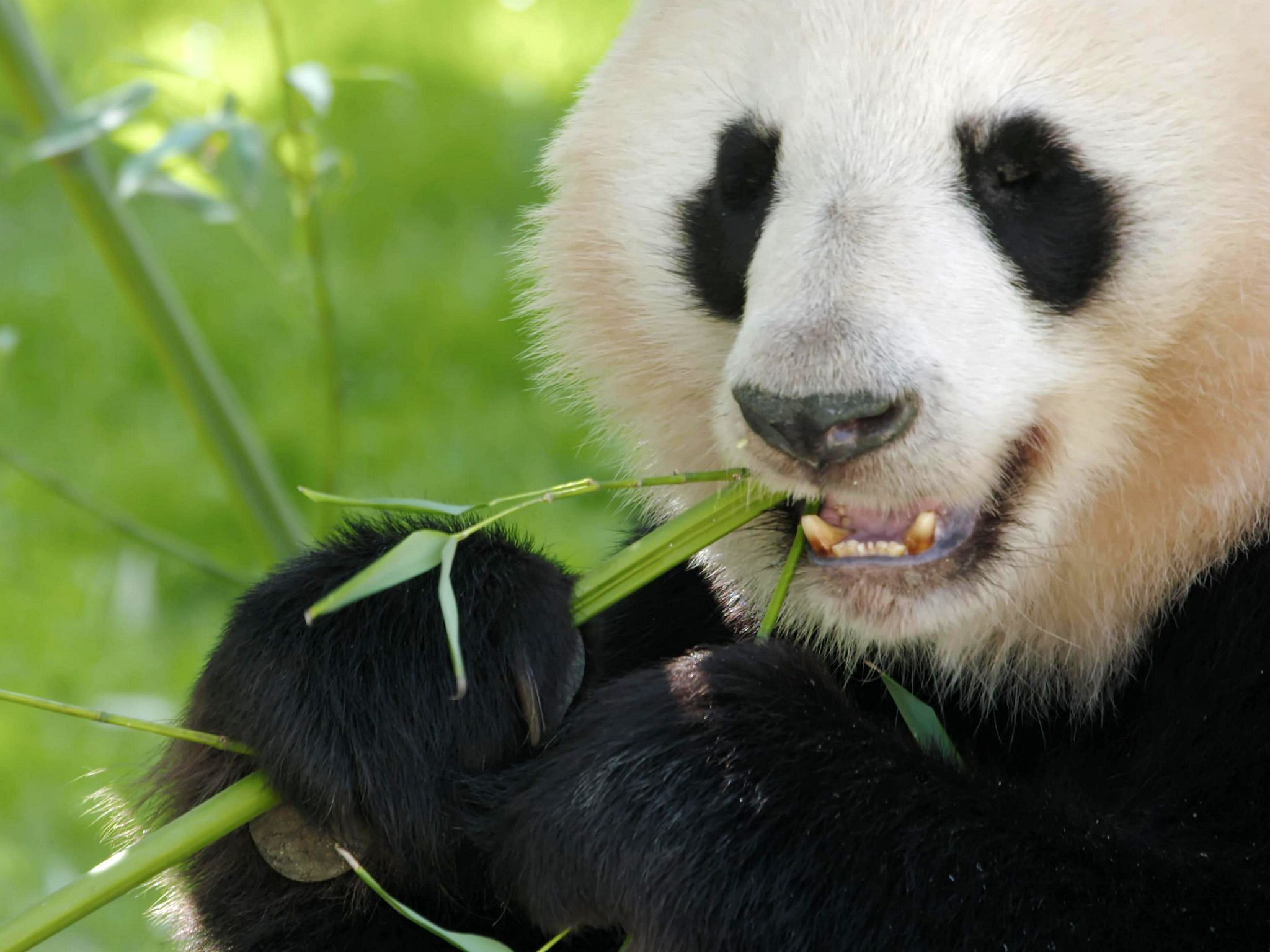 A closeup of a giant panda munching on some bamboo. This image is from Wild Hunters. [Photo of the day - می 2019]