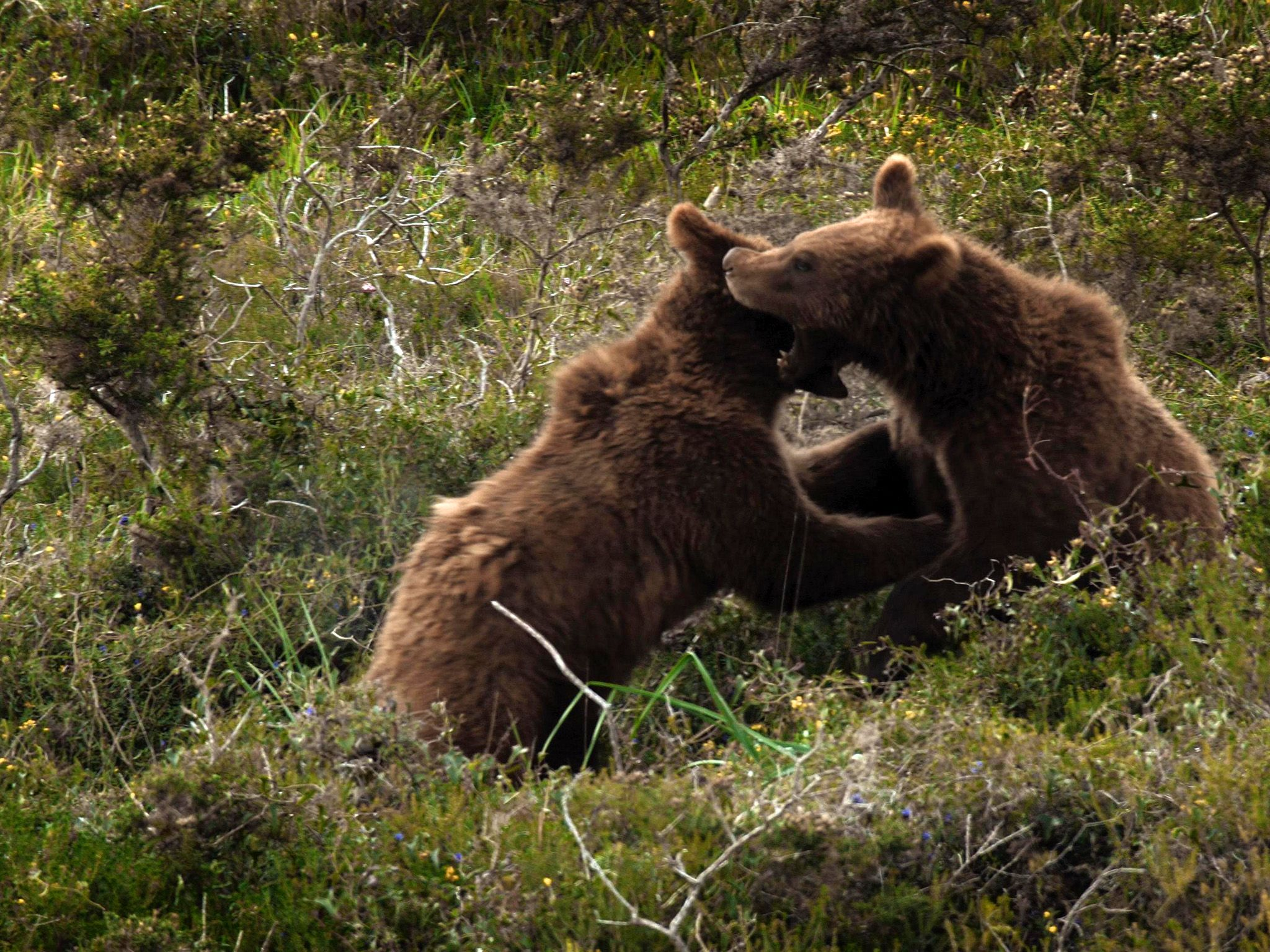 Two brown bears fighting. This image is from Wild Hunters. [Photo of the day - می 2019]