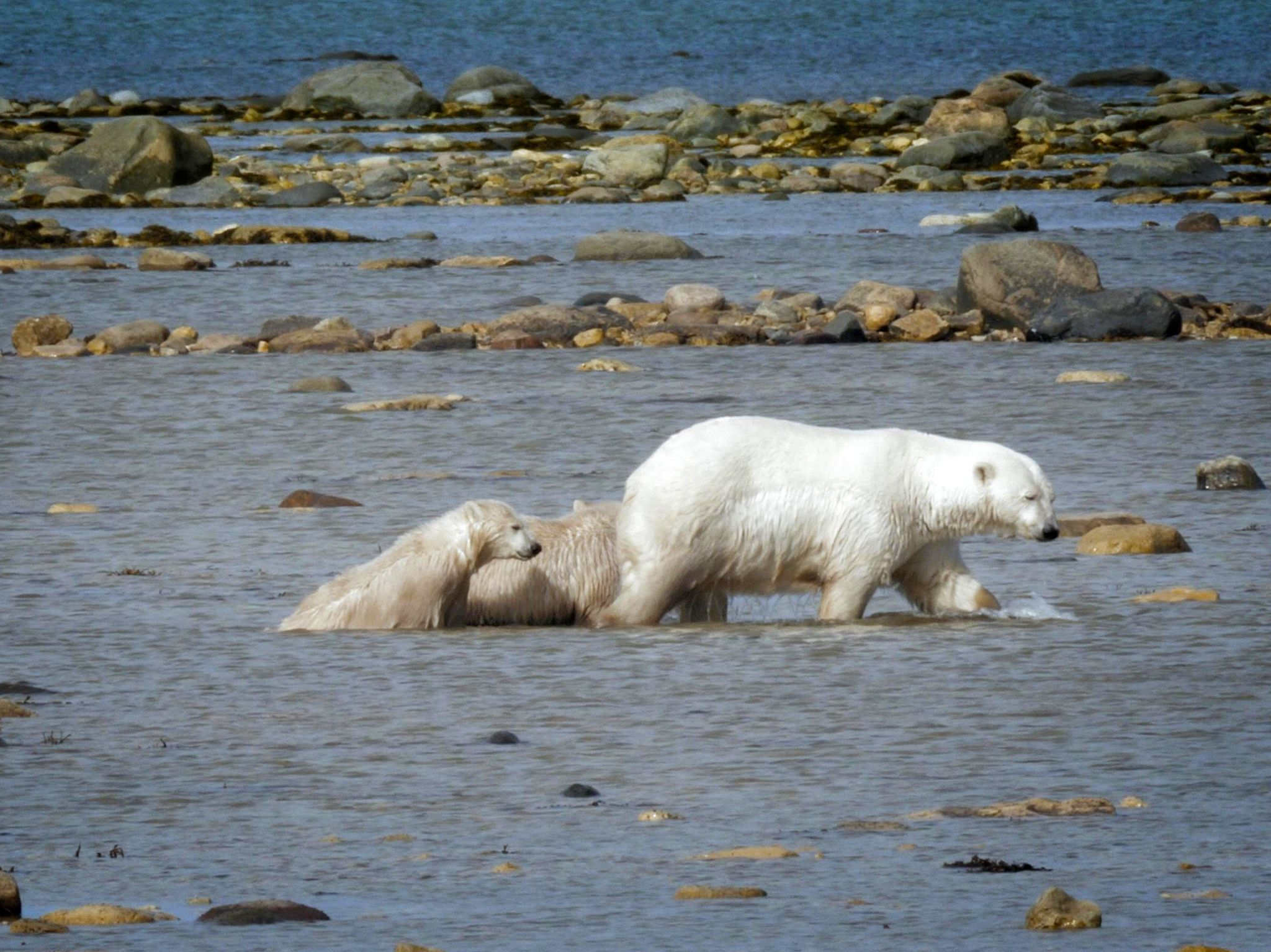 Three polar bears emerging from the water after an unsuccessful hunt.  This image is from Wild... [Photo of the day - May 2019]