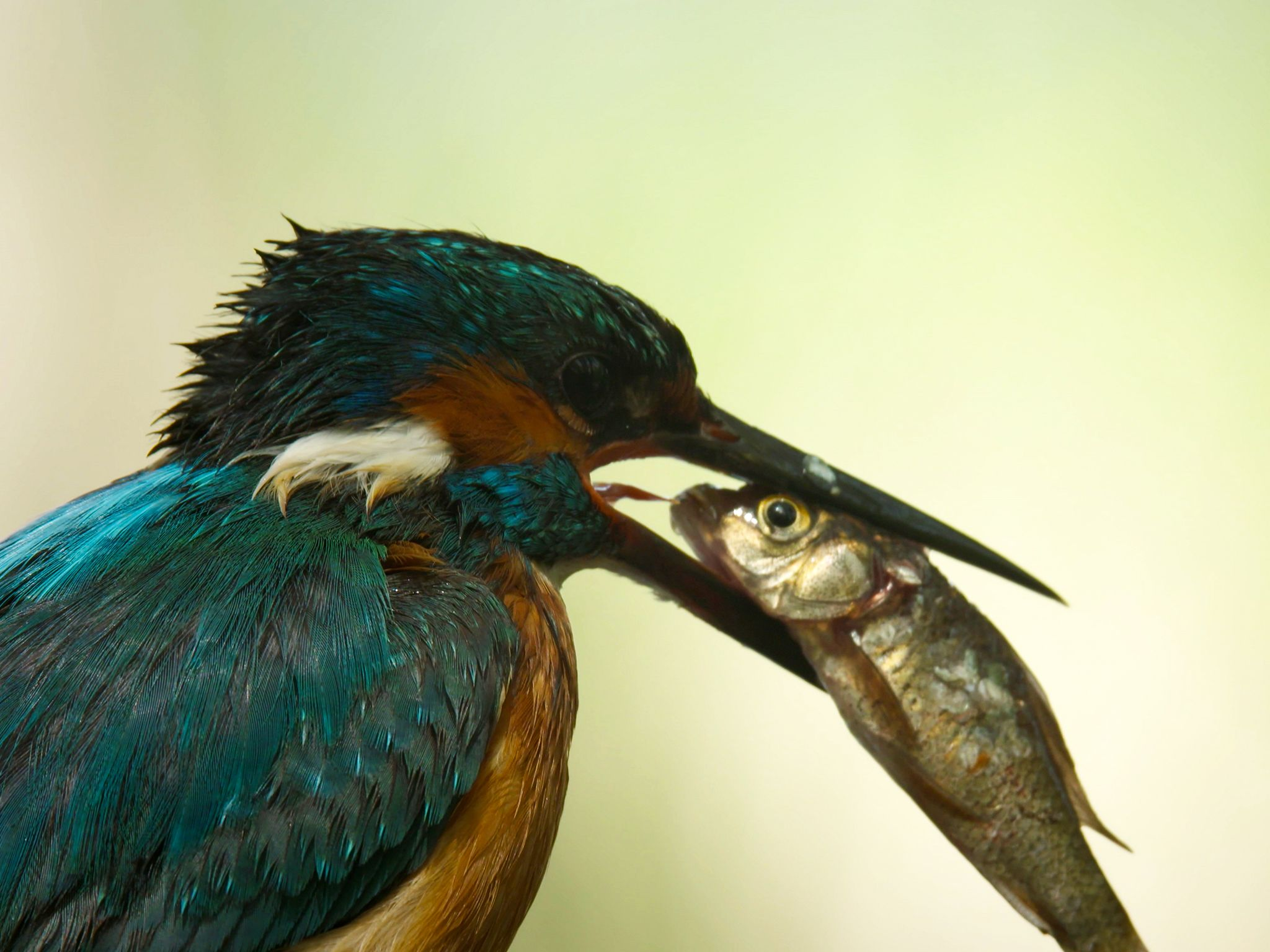A close up of a Kingfisher after having caught its prey (a trout) with its beak. This image is... [Photo of the day - May 2019]