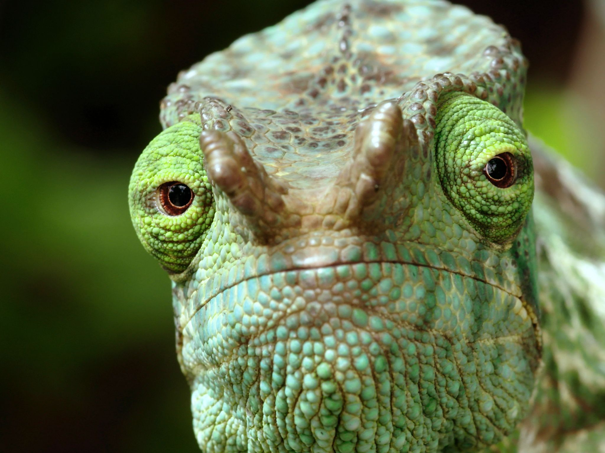 An extreme closeup of a chameleon's eyes.  This image is from Wild Hunters. [Photo of the day - May 2019]