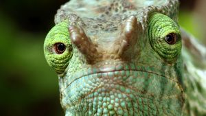 An extreme closeup of a chameleon's... [Photo of the day - 18 MAY 2019]