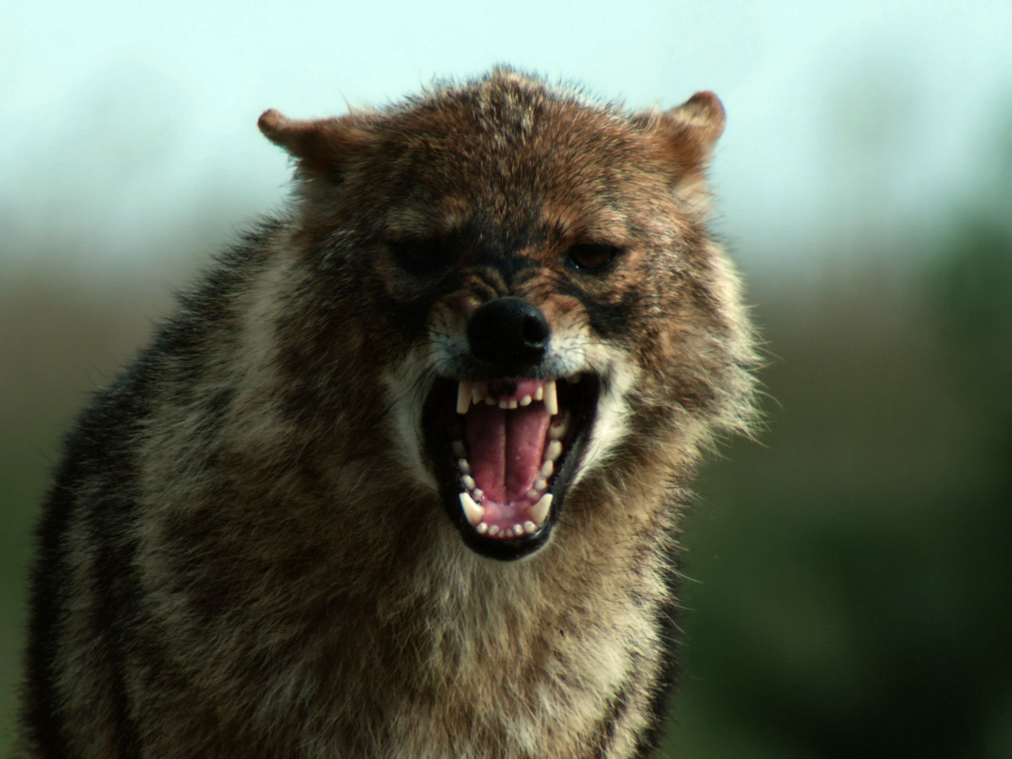 A closeup of a golden jackal, roaring and sticking its sharp deadly teeth out at its prey. This... [Photo of the day - می 2019]