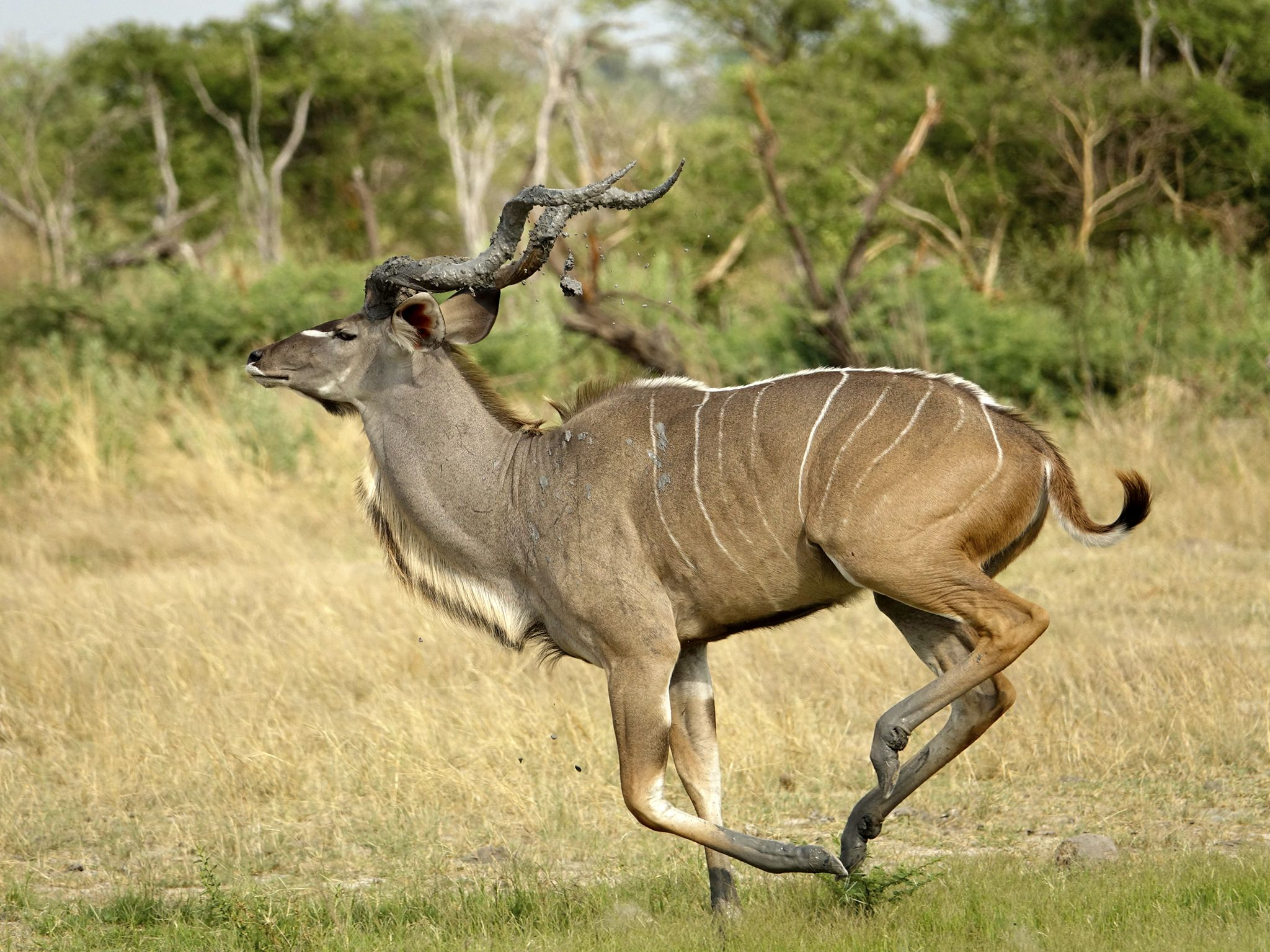 A kudu runs away after being startled at a water pool. This image is from Savage Kingdom. [Photo of the day - ژوئن 2019]