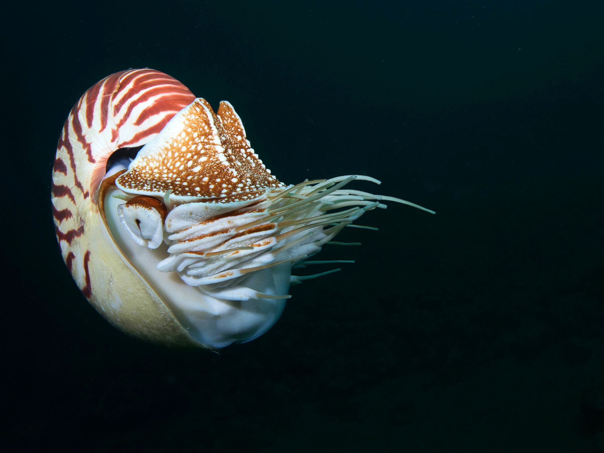 Chambered nautilus.  This image is from Untamed Philippines. [Photo of the day - ژوئن 2019]
