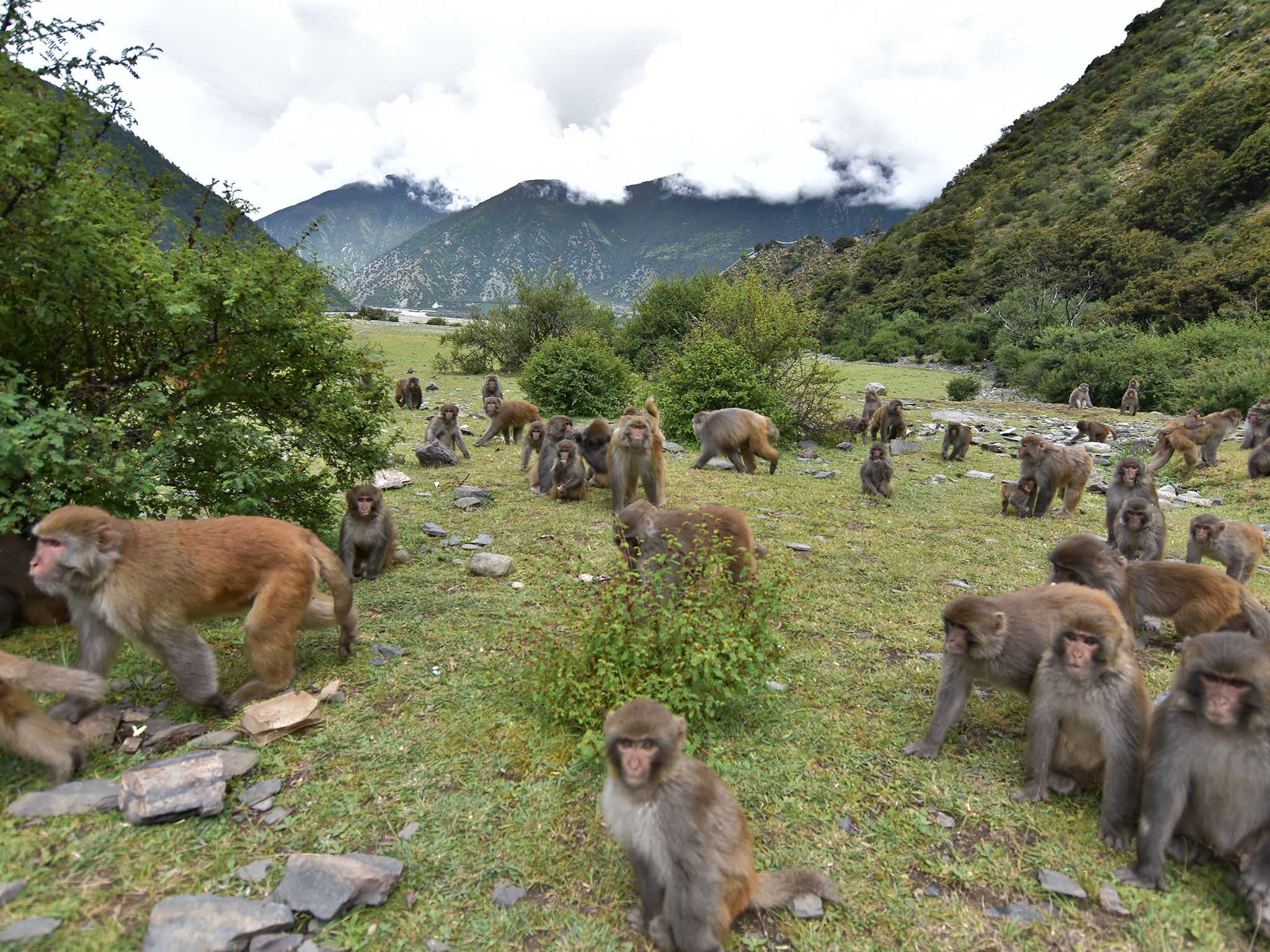 Tibet:  Troup of Tibetan macaques.  This image is from China's Wild Side. [Photo of the day - June 2019]