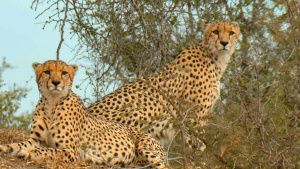 Cheetah brothers resting on top of... [Photo of the day - 15 ژوئن 2019]