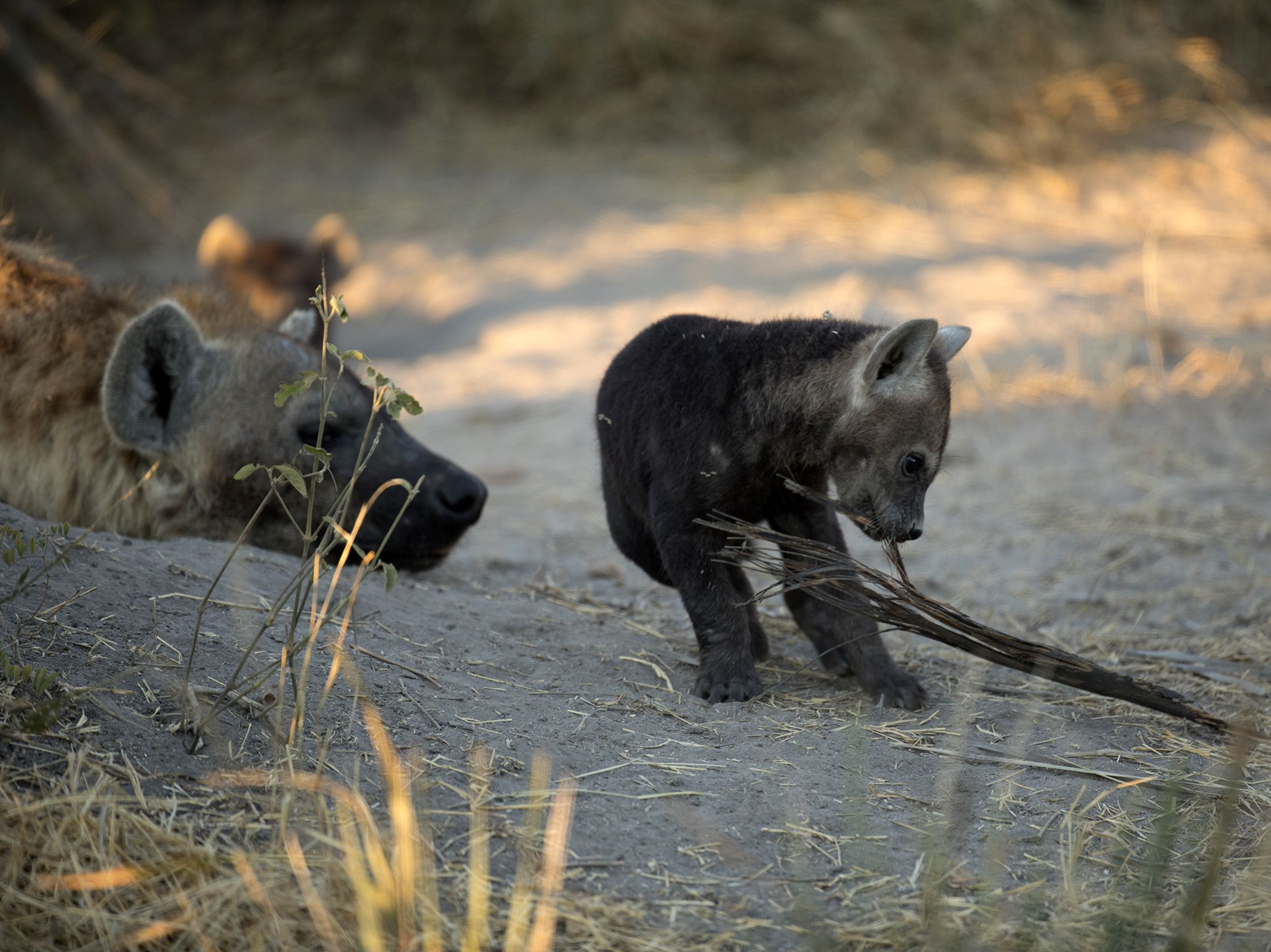Moremi Game Reserve, Okavango Delta, Botswana:  A hyena cub plays with foliage at the den as an... [Photo of the day - June 2019]