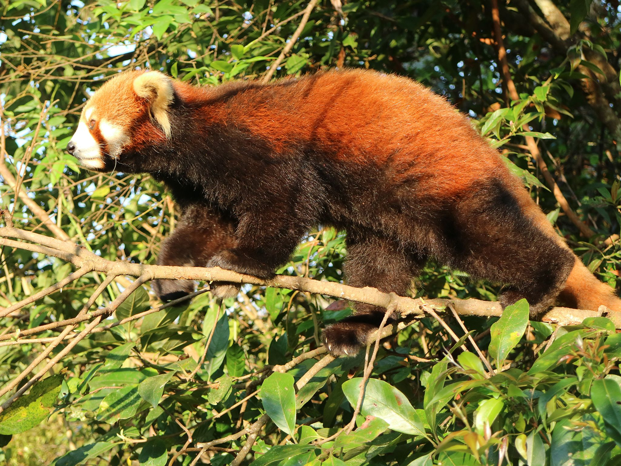 Pu'er Sun River National Park, Yunnan:  Red Panda walking on a branch.  Red pandas spend a lot... [Photo of the day - ژوئن 2019]
