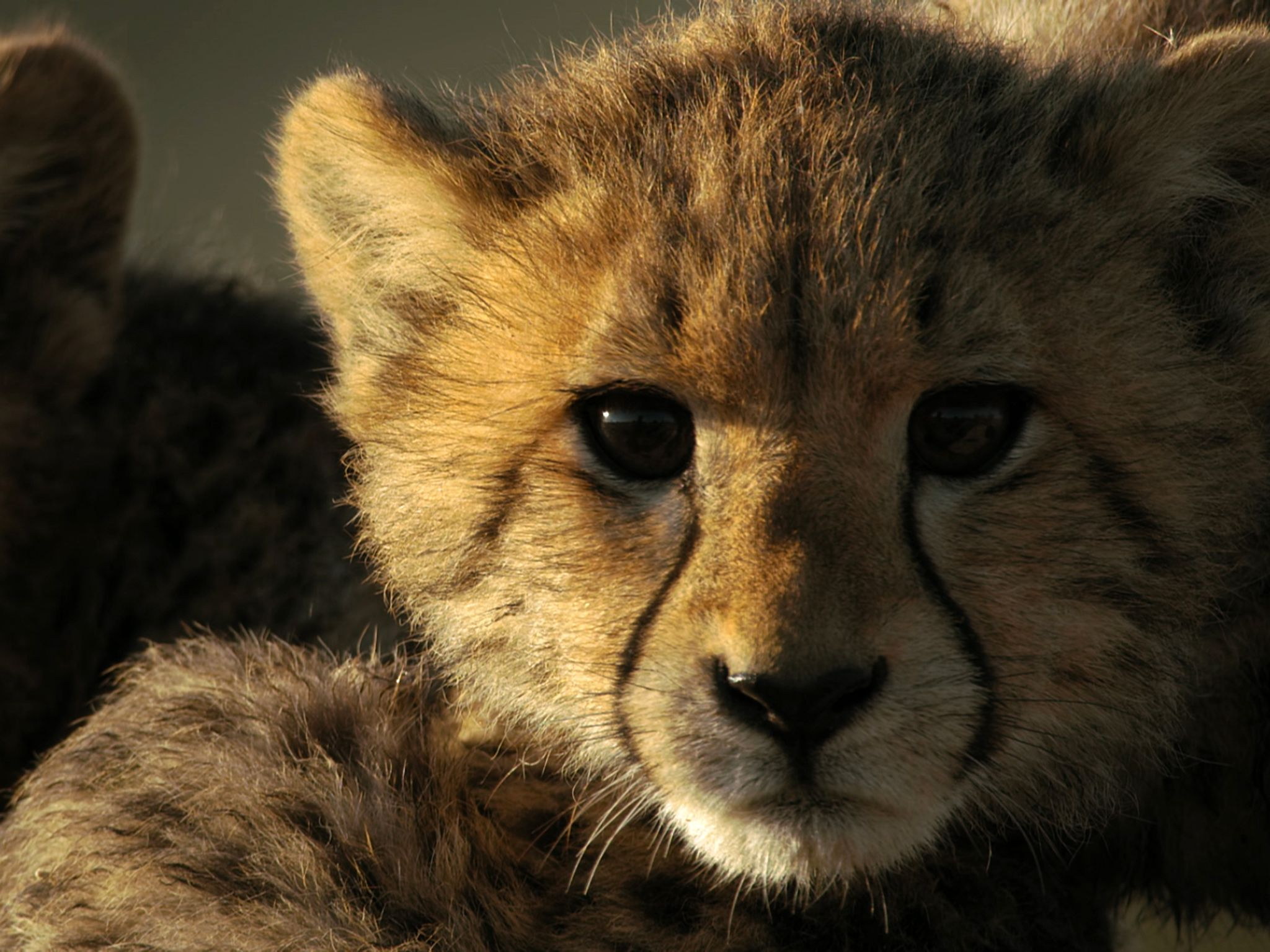 Cheetah cub. This image is from Savage Kingdom. [Photo of the day - ژوئن 2019]