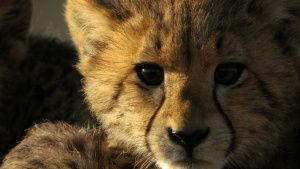 Cheetah cub. This image is from... [Photo of the day - 24 ژوئن 2019]