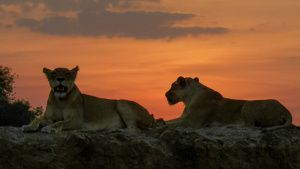 Two lionesses resting on top of... [Photo of the day - 25 ژوئن 2019]