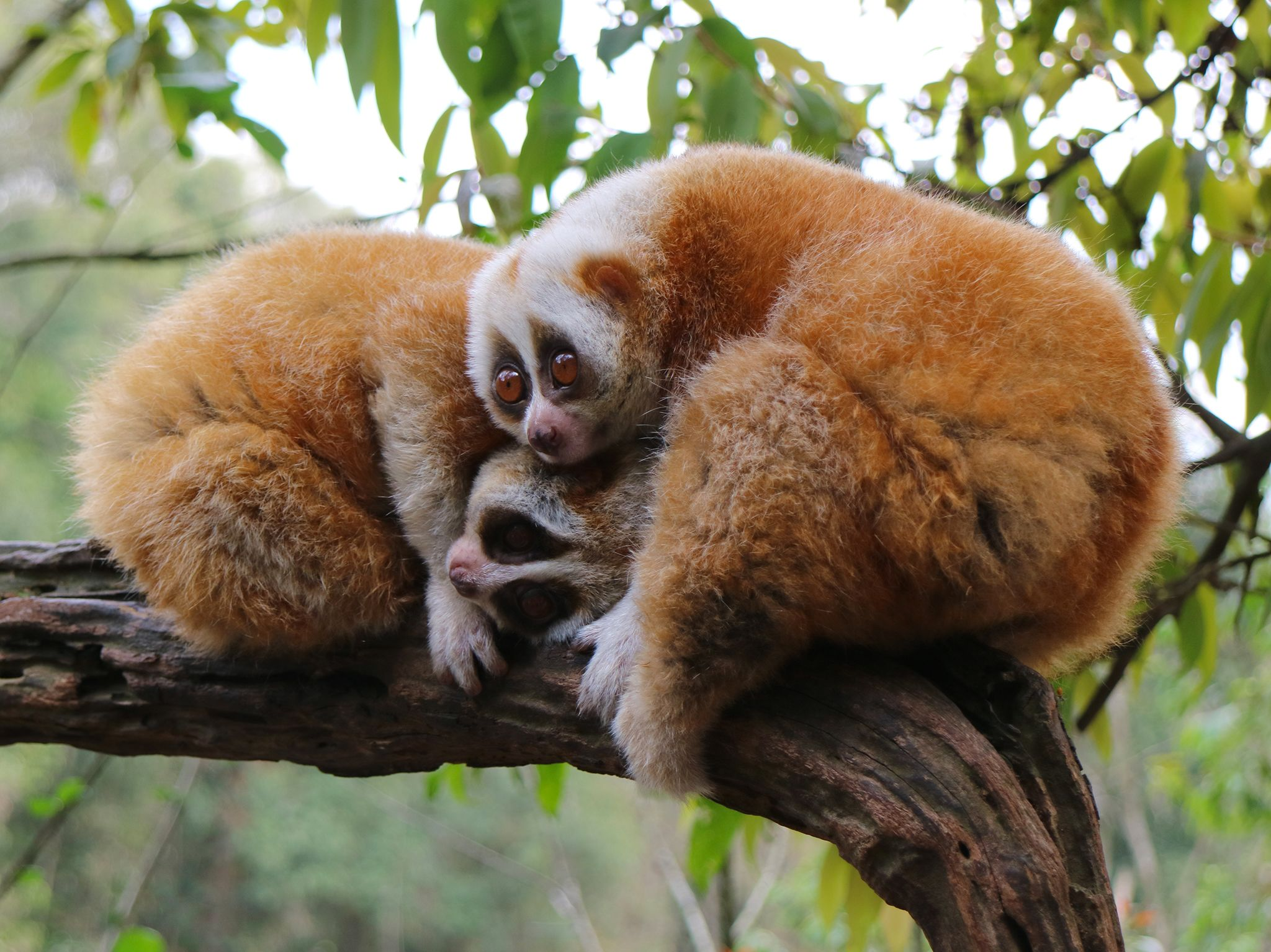 Pu'er Sun River National Park, Yunnan:  2 Slow lorises waking up at dusk.  Lorises are the only... [Photo of the day - ژوئن 2019]