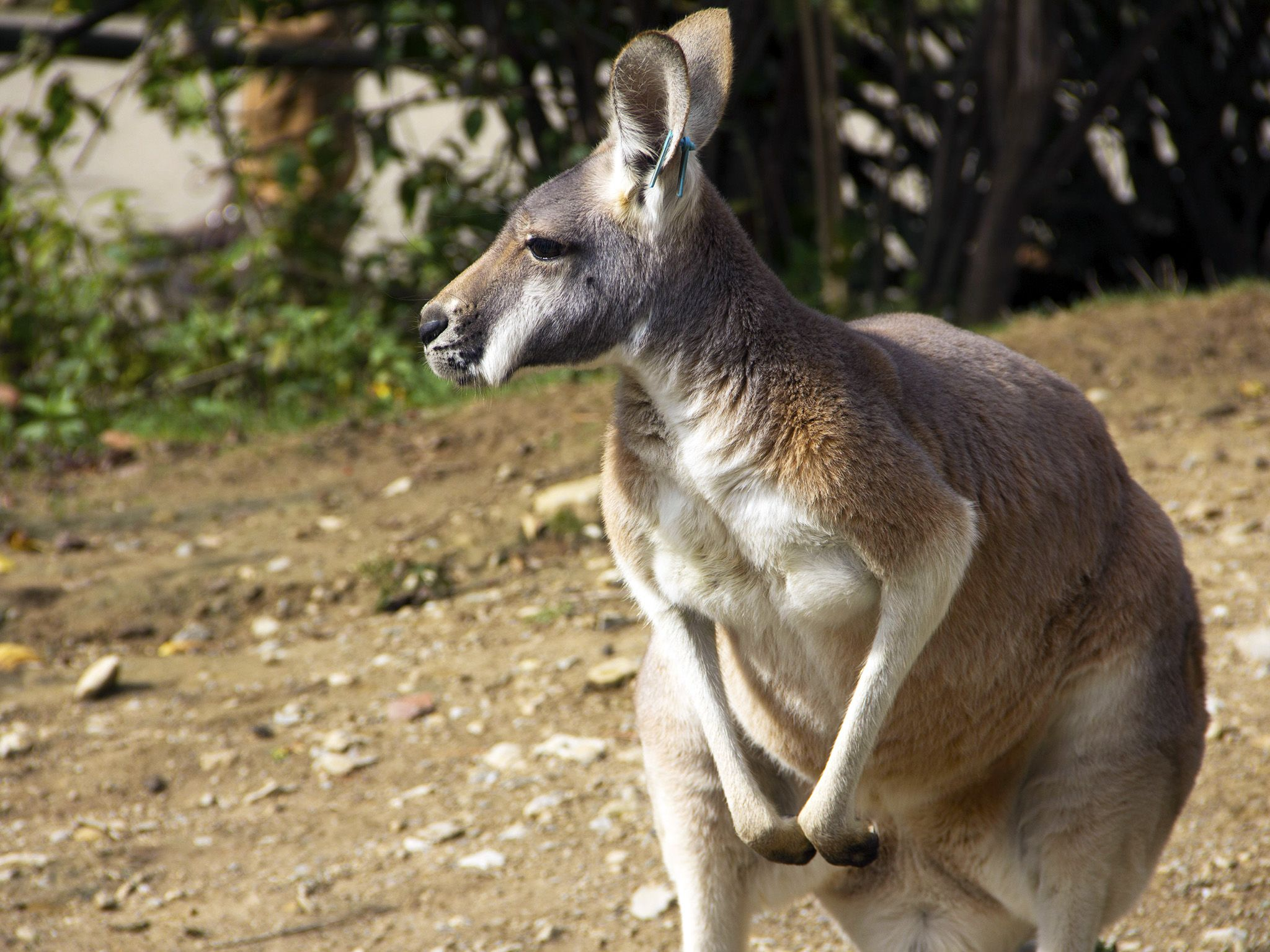 Powell, Ohio:  Kangaroo soaking up the sun at the Australian exhibit.  This image is from... [Photo of the day - July 2019]