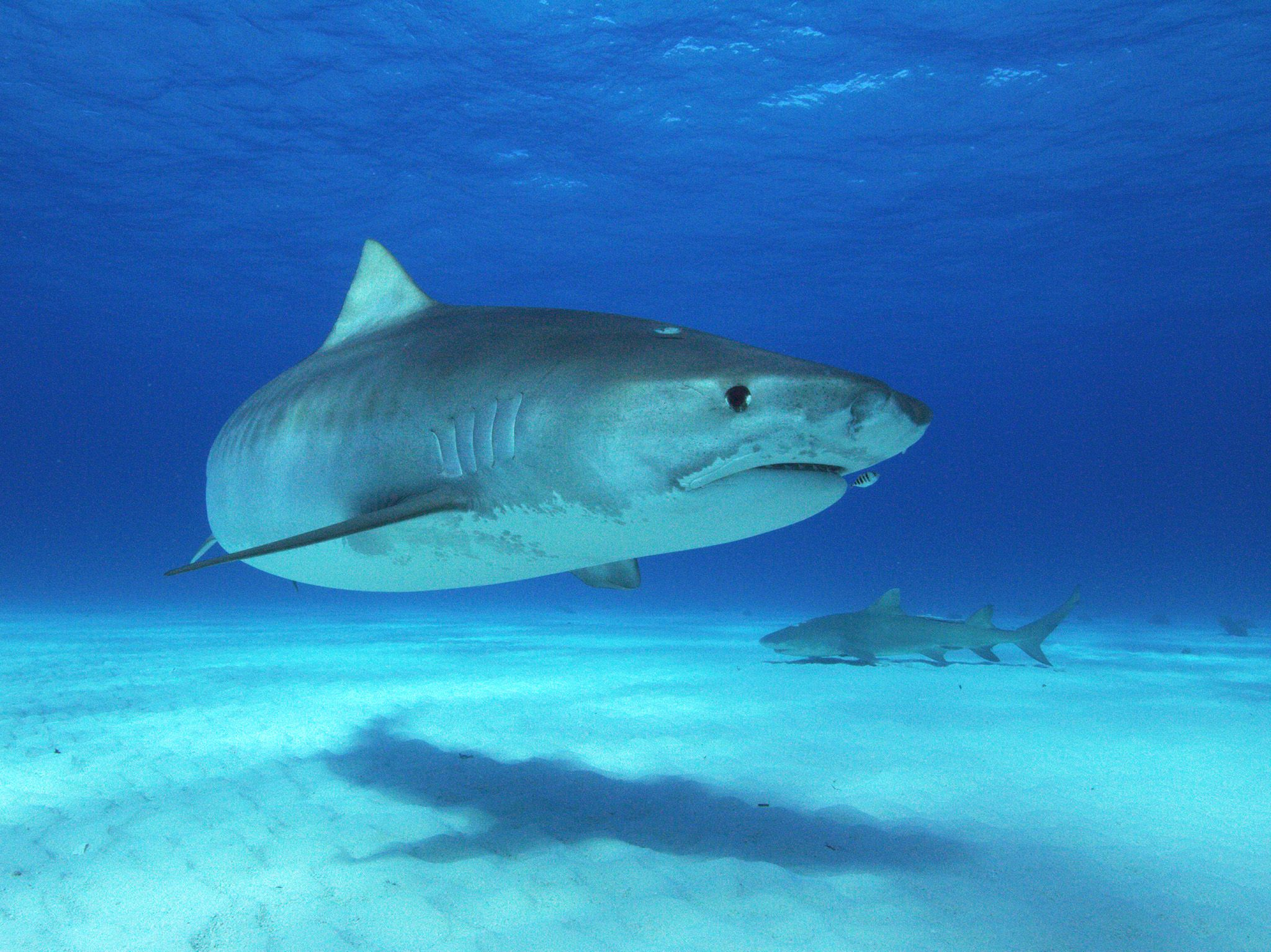 Tiger shark close to camera.  This image is from Forecast Shark Attack. [Photo of the day - July 2019]