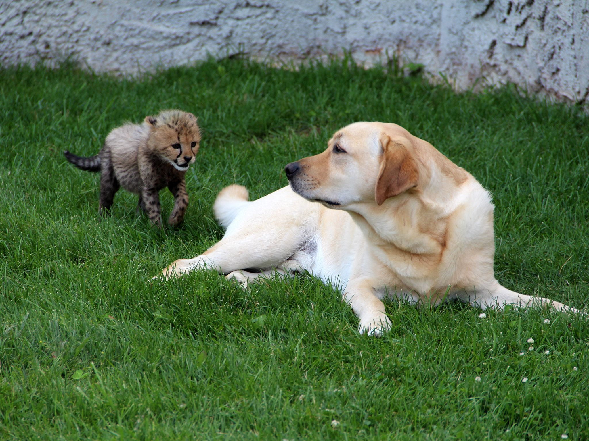 Powell, OH:  Debbie the cheetah cub sneaks up behind Colby the golden retriever in the yard. ... [Photo of the day - July 2019]