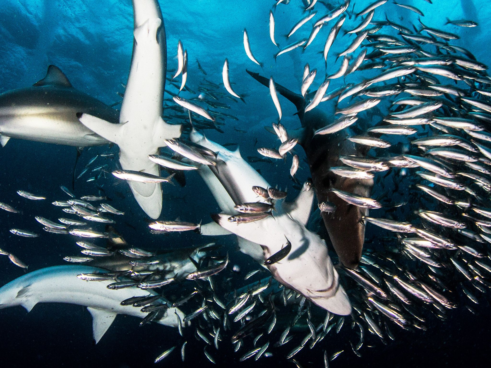 Different species of shark seemingly co-operate. Herding the sardines into a ball near the... [Photo of the day - July 2019]