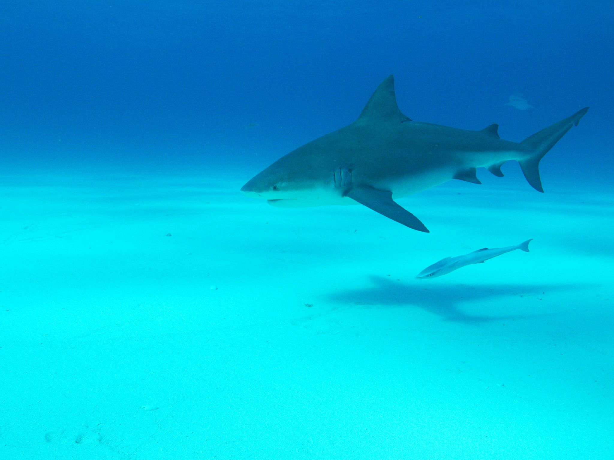 Bull shark swimming near the camera.  This image is from Forecast Shark Attack. [Photo of the day - July 2019]