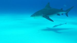 Bull shark swimming near the camera.... [Photo of the day - 17 ژولیه 2019]