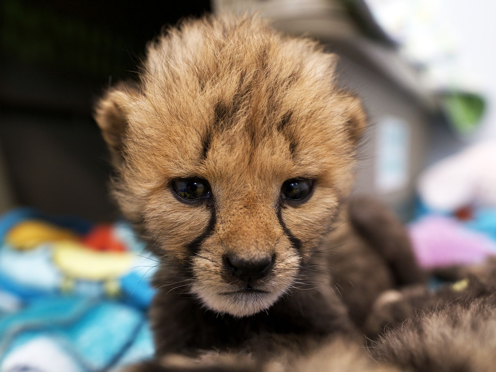 Powell, OH:  Bob, the cheetah cub at the Columbus Zoo. This image is from Secrets of the Zoo. [Photo of the day - July 2019]