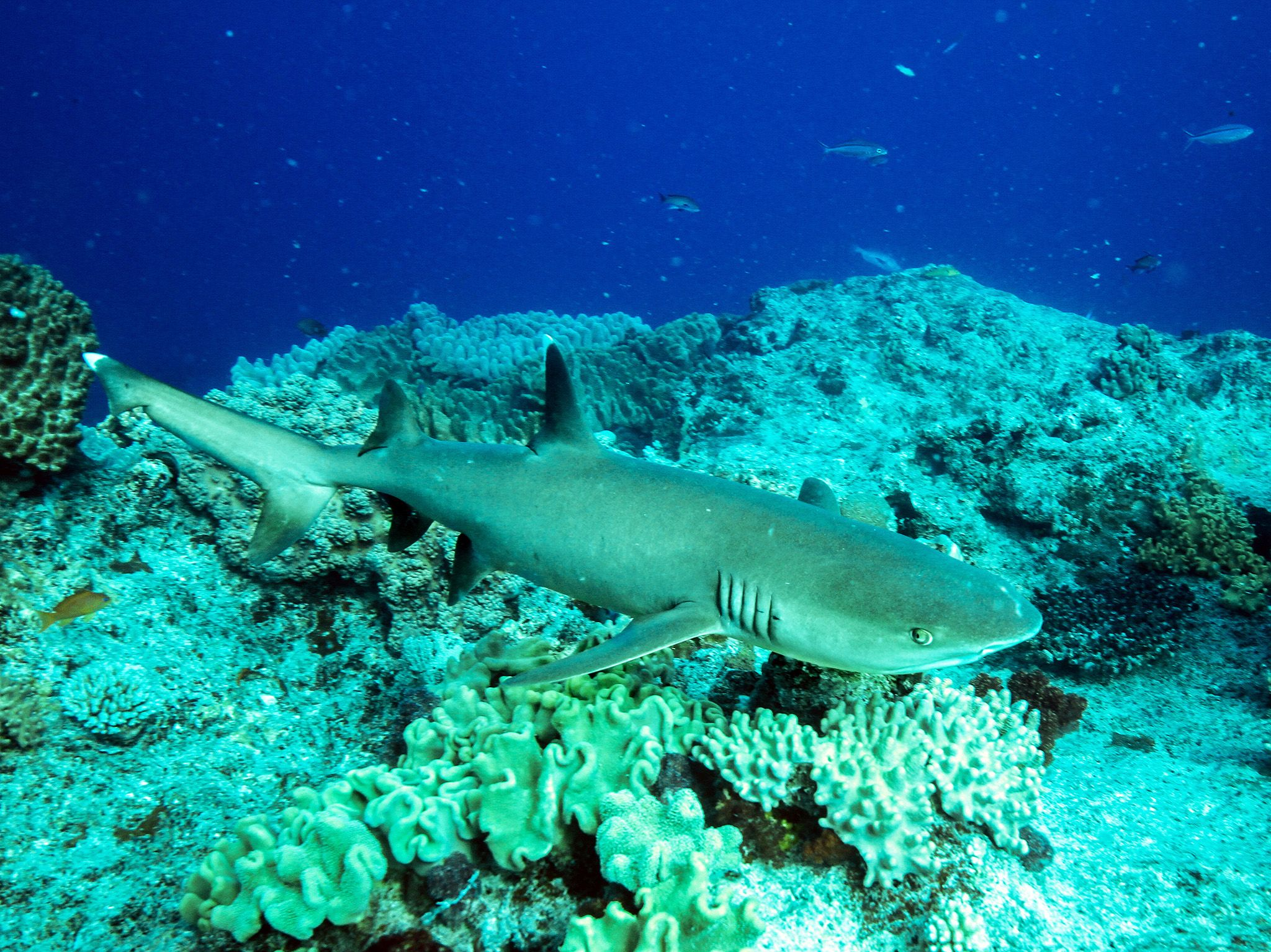 A Whitetip Reef Shark swims among the coral on New Caledonia's barrier reef, the second largest... [Photo of the day - July 2019]