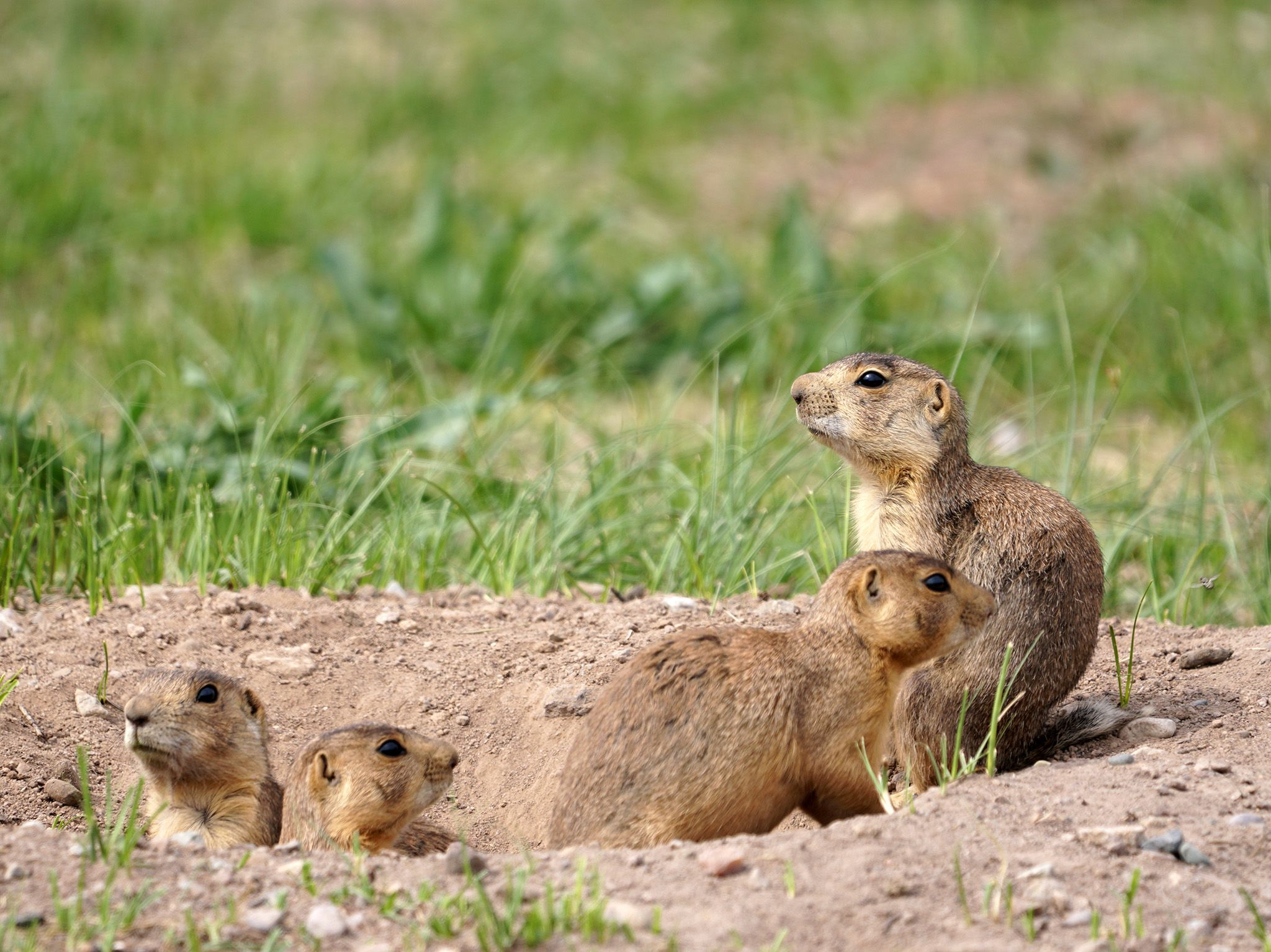 Jemez Springs, NM:  Prairie Dogs look around near burrow. This image is from Prairie Dog Manor. [Photo of the day - August 2019]