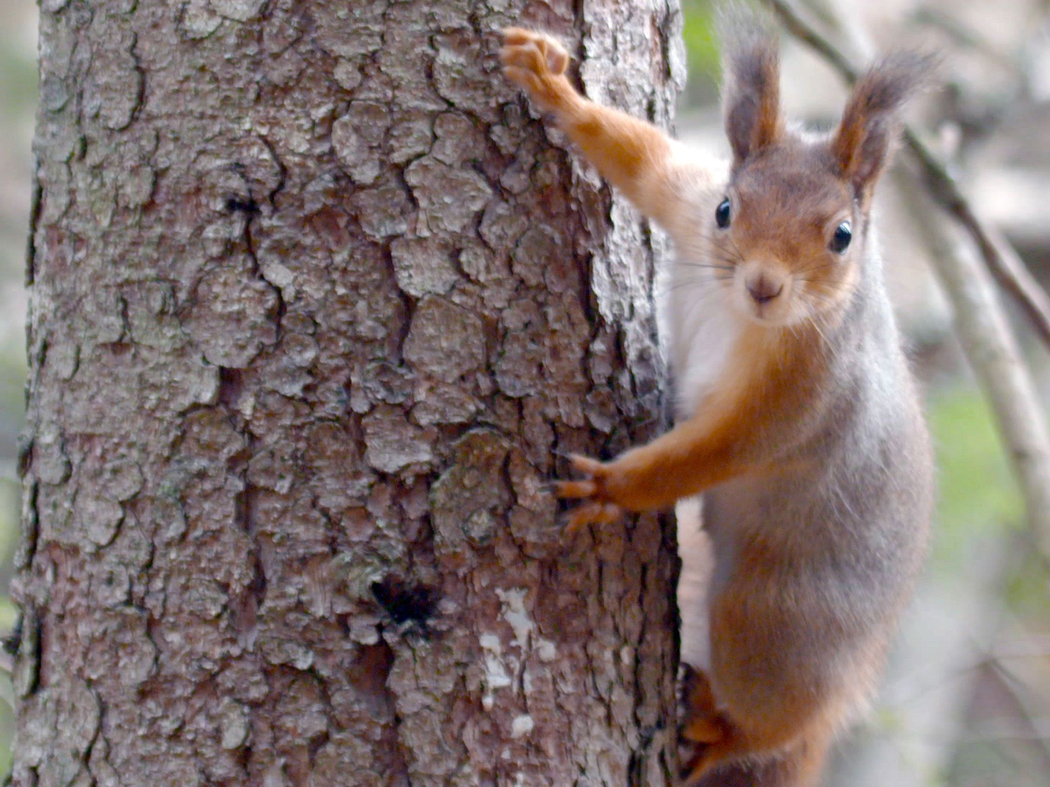 Squirrel climbing a tree. This image is from Wild Scandinavia. [Photo of the day - أغسطس 2019]
