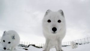 GoPro view of arctic fox in... [Photo of the day - 16 أغسطس 2019]