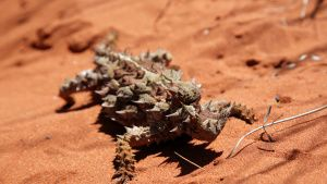 A Thorny Devil rests in the red sand... [Photo of the day - 18 AUGUST 2019]