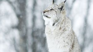 Lynx in falling snow looking up. ... [Photo of the day - 24 اگوست 2019]