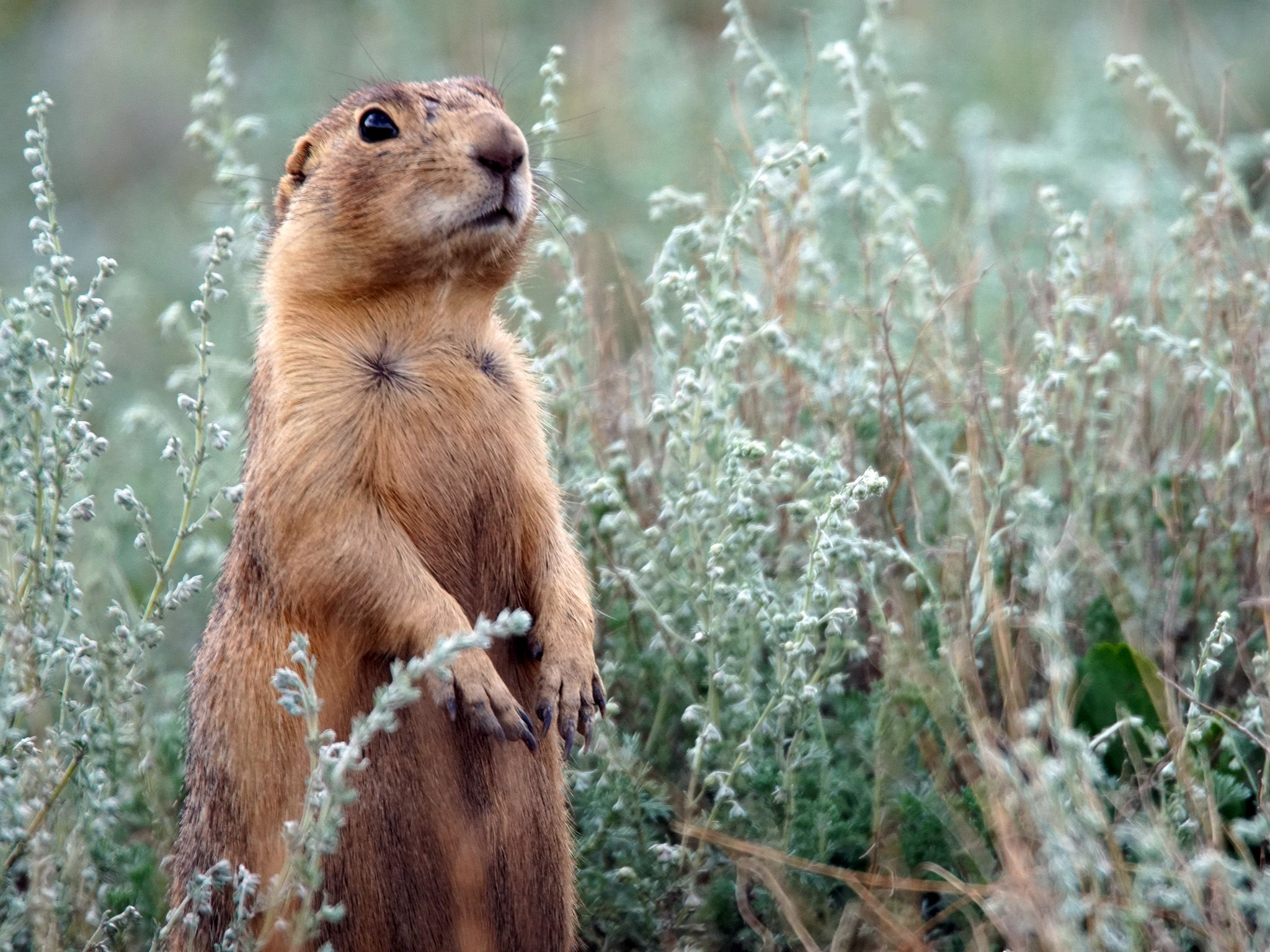 Jemez Springs, NM:  Prairie Dog watching for potential threats.  This image is from Prairie Dog... [Photo of the day - August 2019]