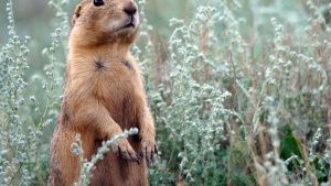 Jemez Springs, NM:  Prairie Dog... [Photo of the day - 26 AUGUST 2019]
