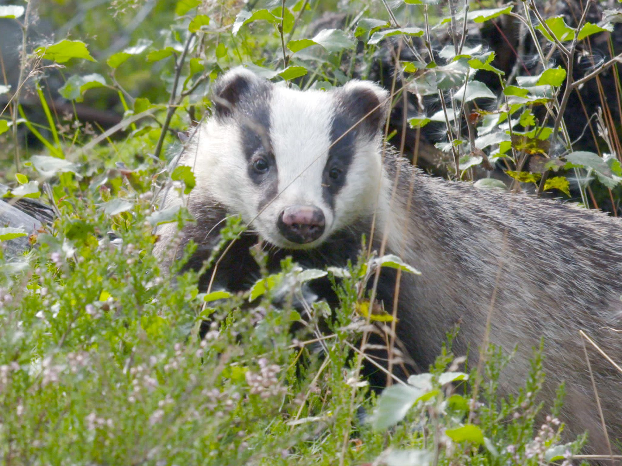 Badger in the bushes.  This image is from Wild Scandinavia. [Photo of the day - August 2019]