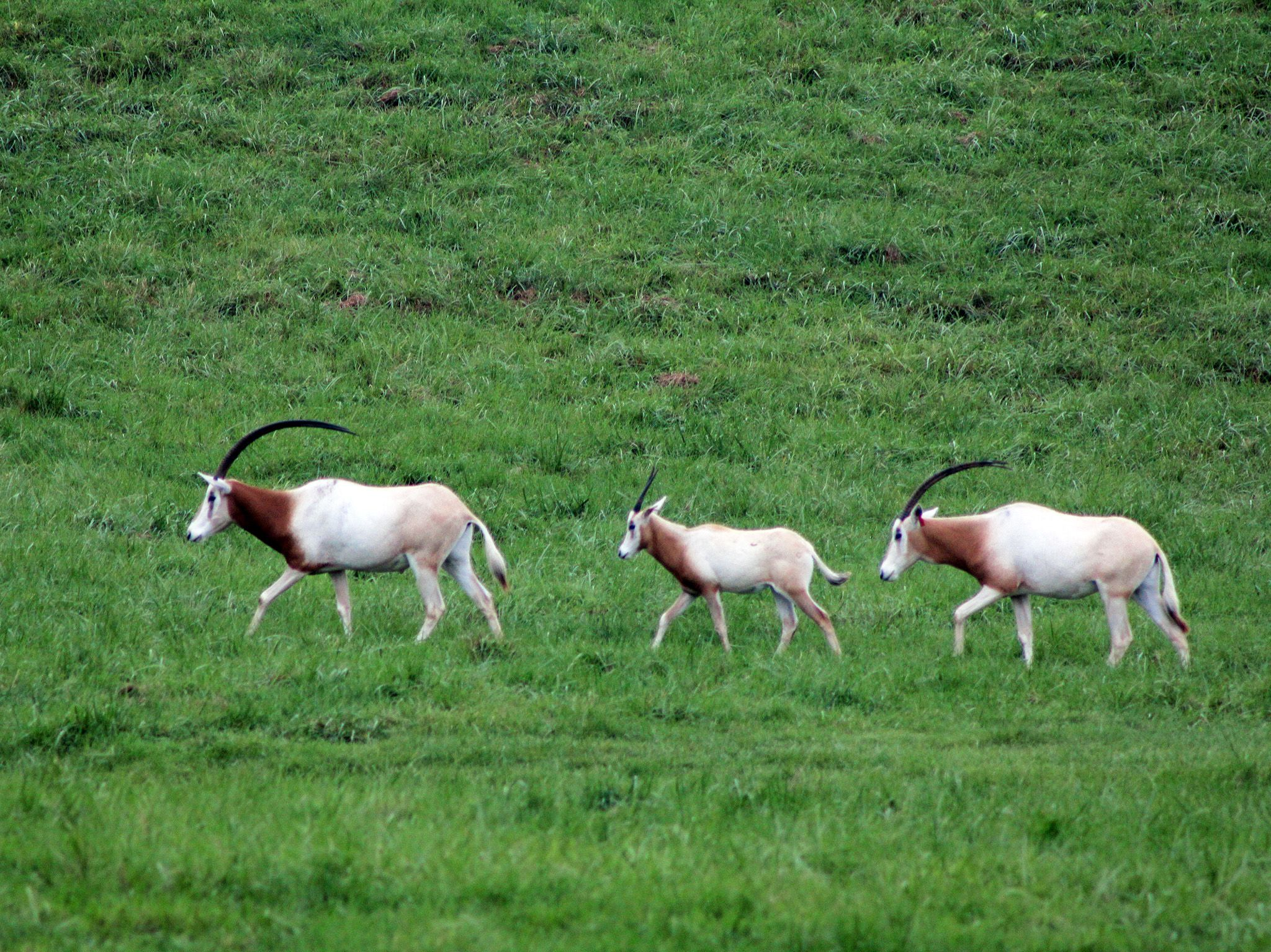 Oryx herd in the Wilds.  This image is from Secrets of the Zoo. [Photo of the day - August 2019]