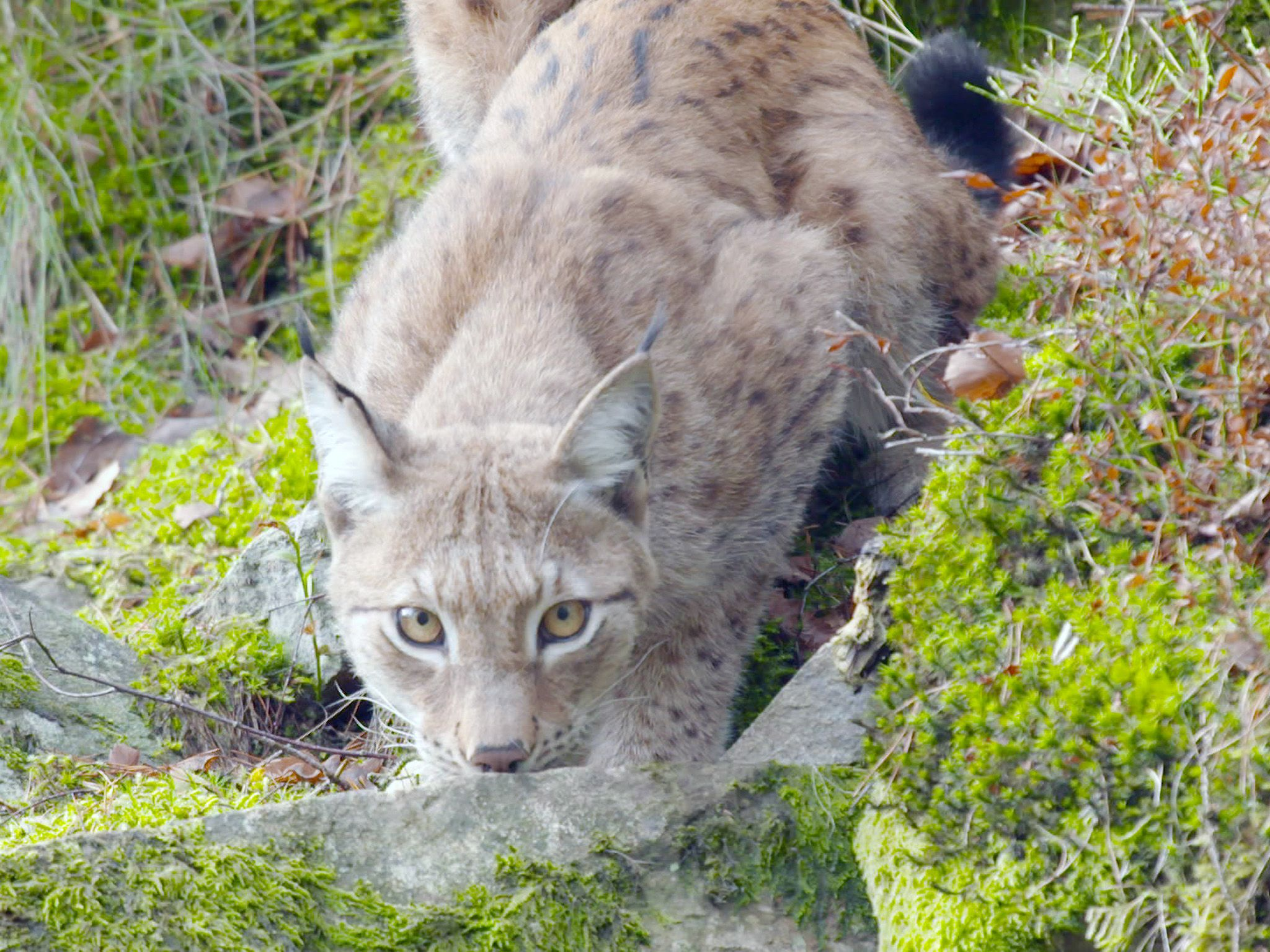 Lynx crouching and staring towards camera on cliff.  This image is from Wild Scandinavia. [Photo of the day - August 2019]
